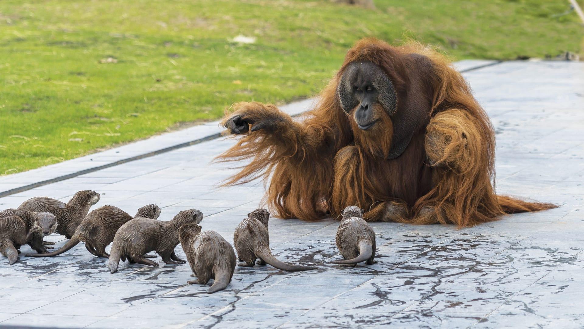 حديقة حيوانات تلتقط صور ظريفة لقردة أورانجوتان وهي تلعب مع أصدقائها القنادس