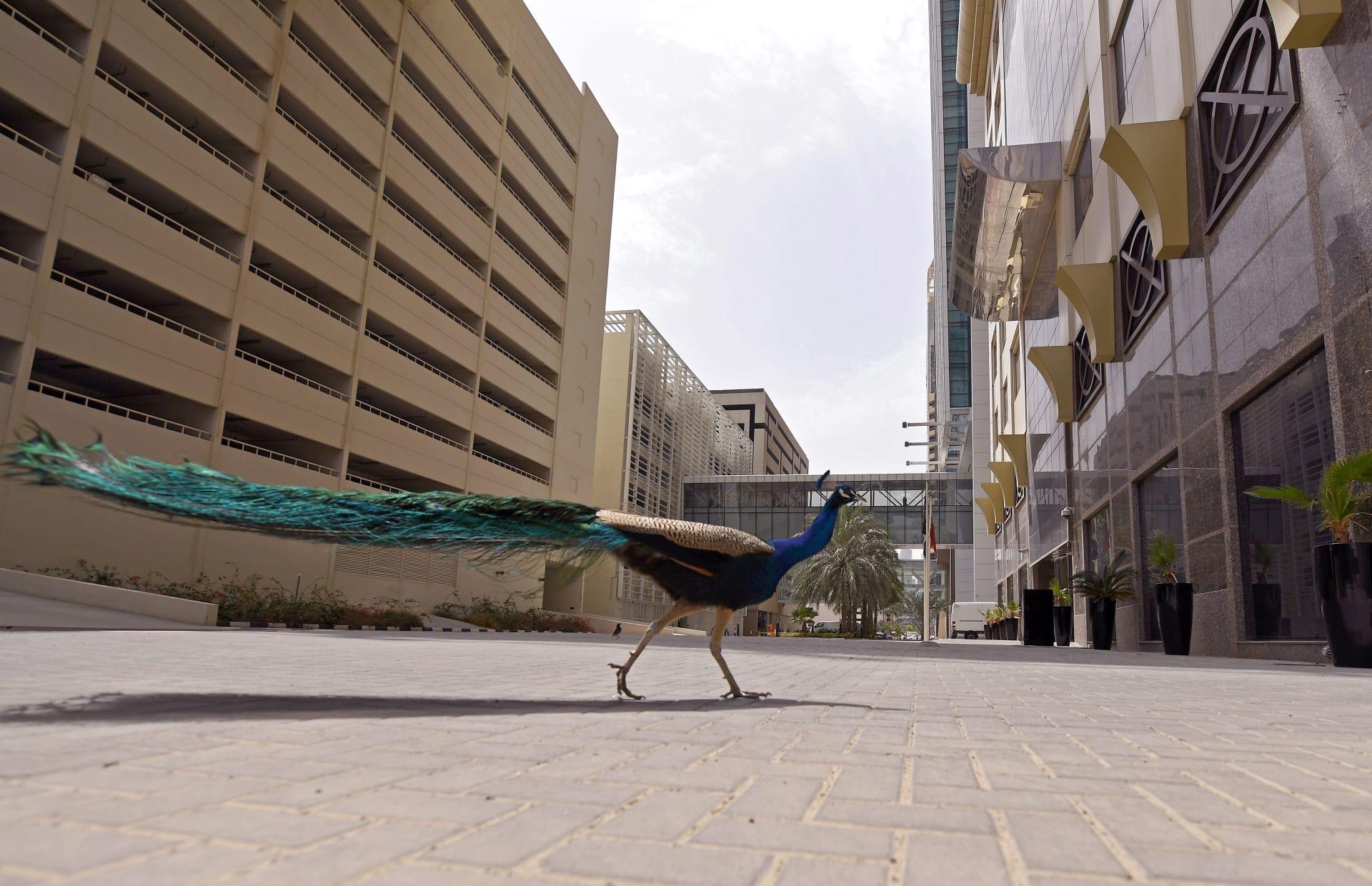 شوارع خالية من البشر وحيوانات تتجول بحرية حول العالم