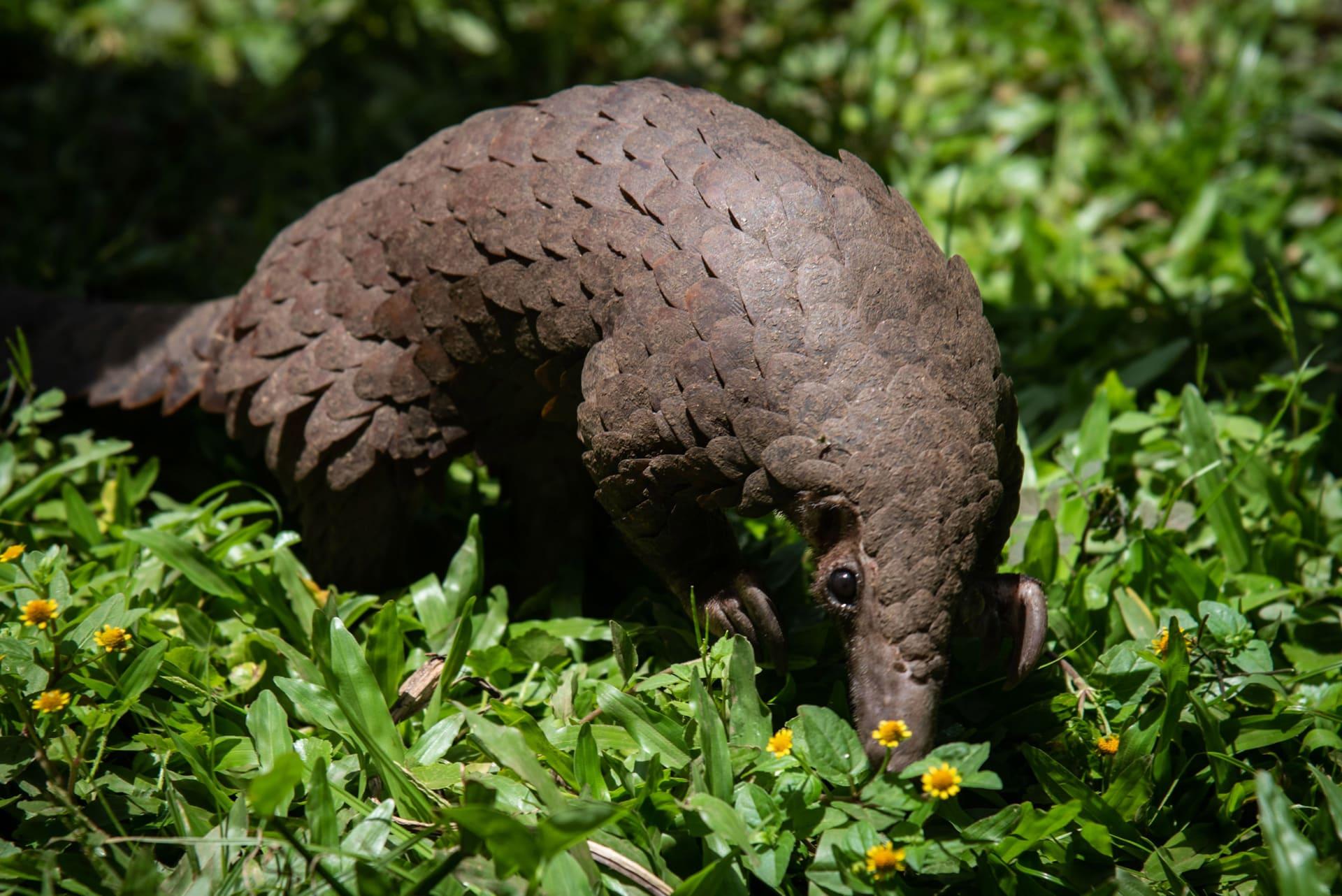 البنغول.. من المحتمل أن هذا الحيوان احتضن فيروس كورونا المستجد