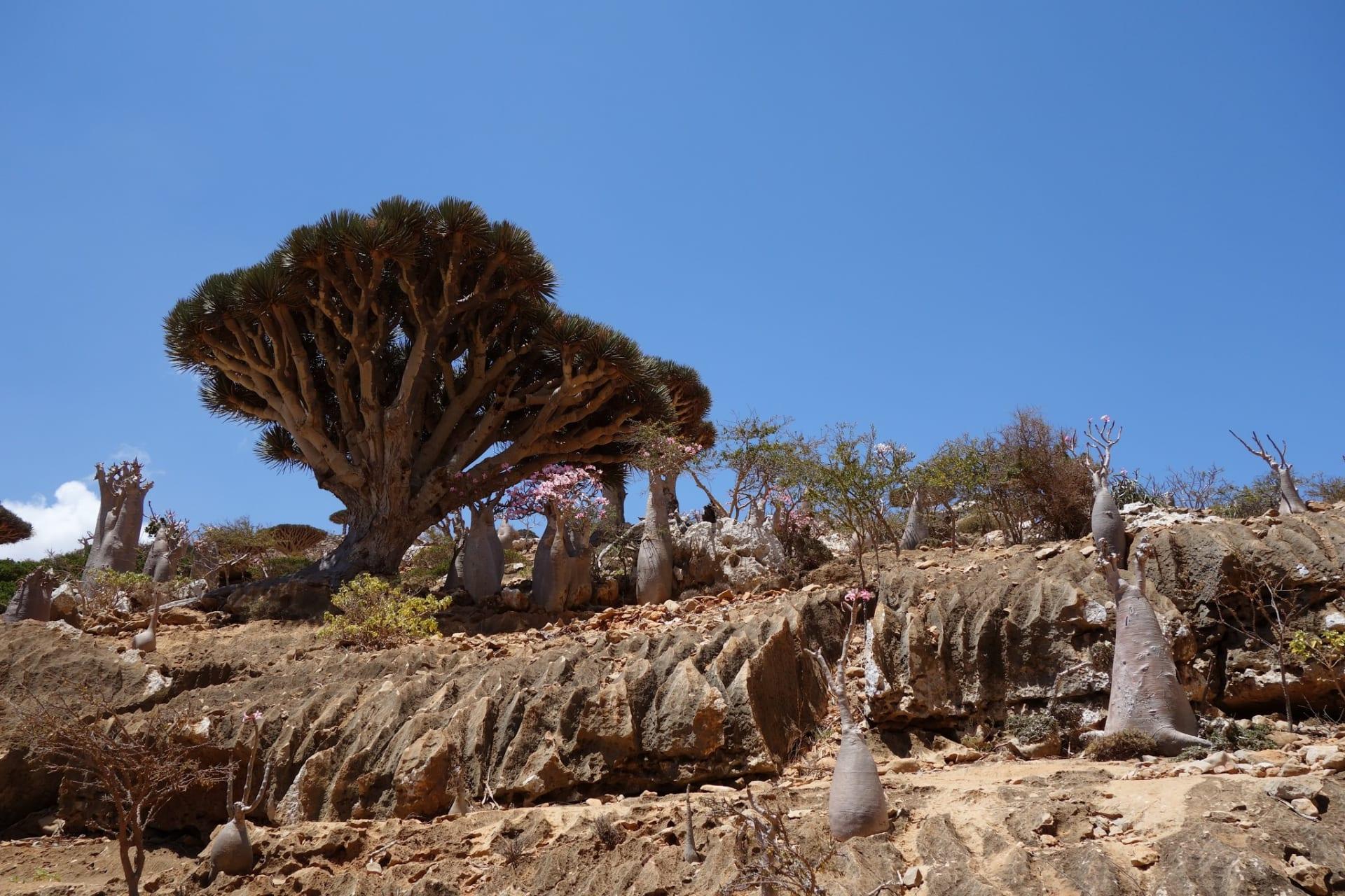 شجرة دم الأخوين في اليمن