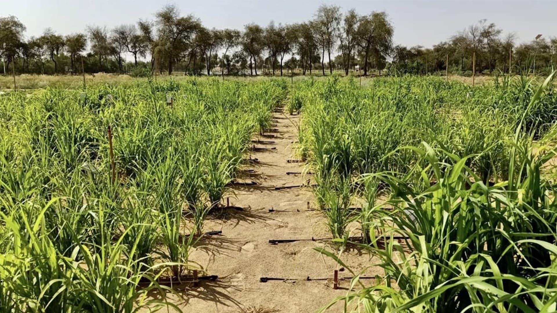 سائل فريد يحول الأراضي القاحلة لأراضي صالحة للزراعة بـ7 ساعات فقط.. هل تتحول دبي لجنة خضراء قريباً؟