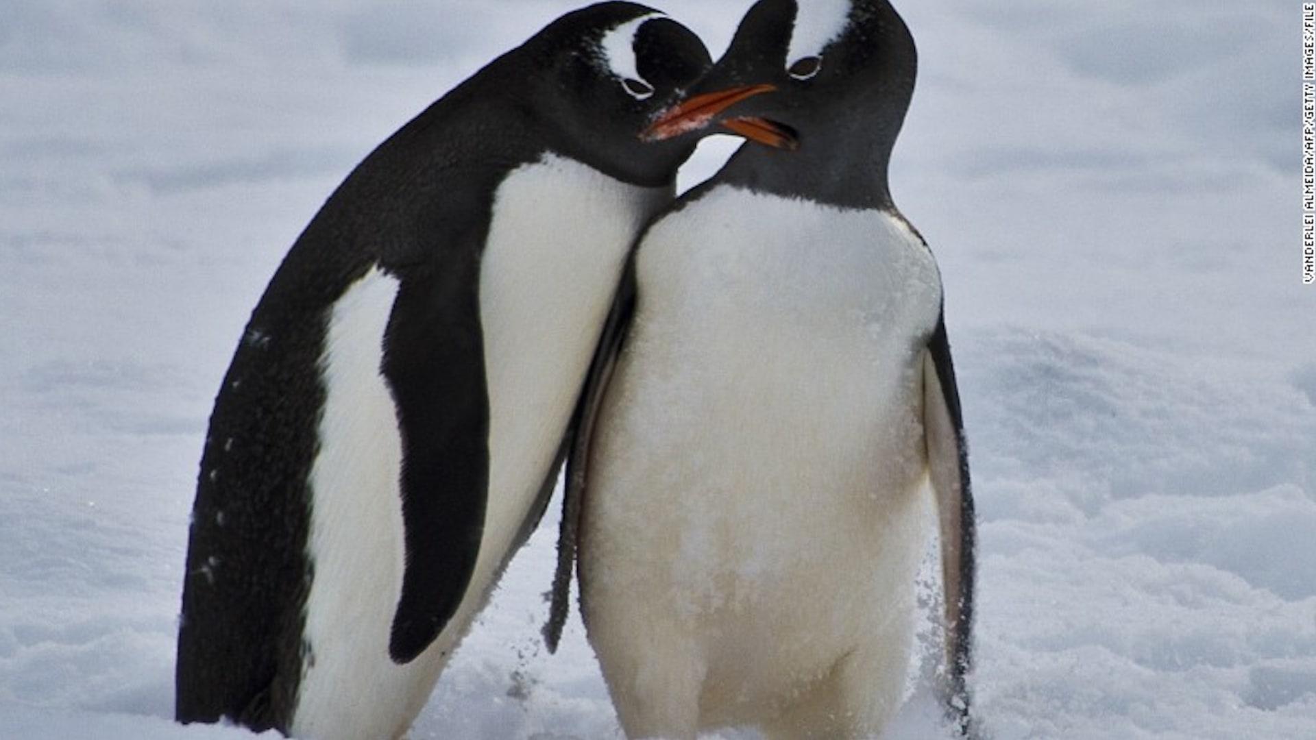 دراسة: طيور البطريق نشأت في أستراليا ونيوزيلندا وليس القطب الجنوبي