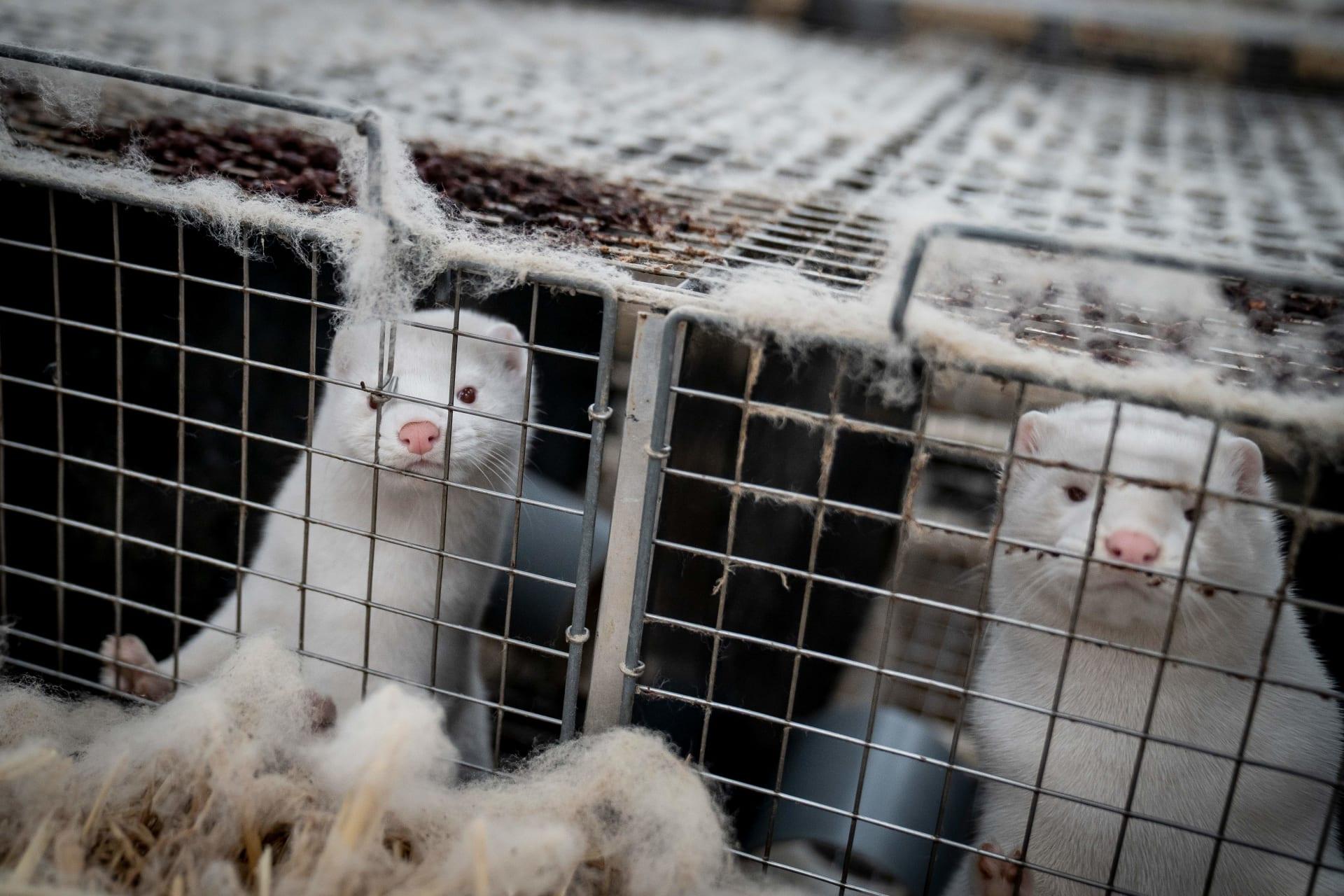 دراسة هولندية توضح كيفية انتشار فيروس كورونا في مزارع حيوانات المنك