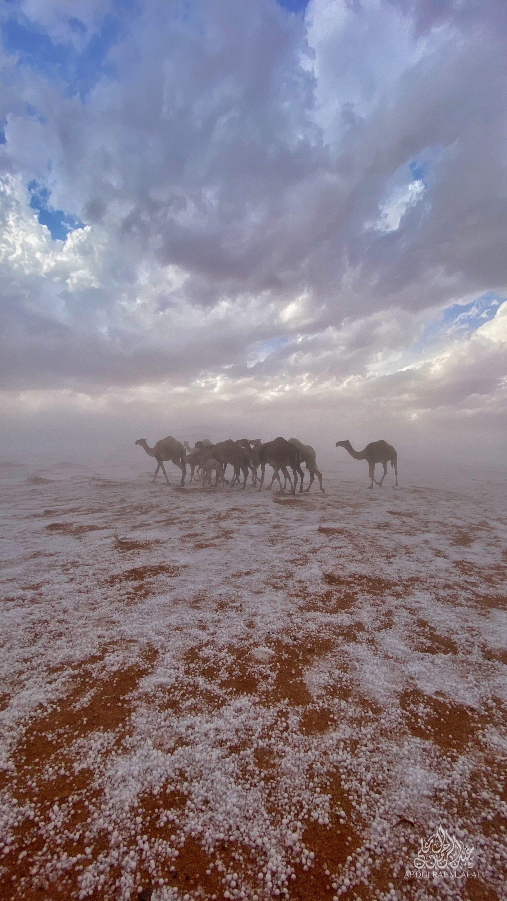 بالسعودية.. مشهد لقطيع من الإبل السوداء فوق غطاء أبيض بعد هطول البرد يثير دهشة الإنترنت