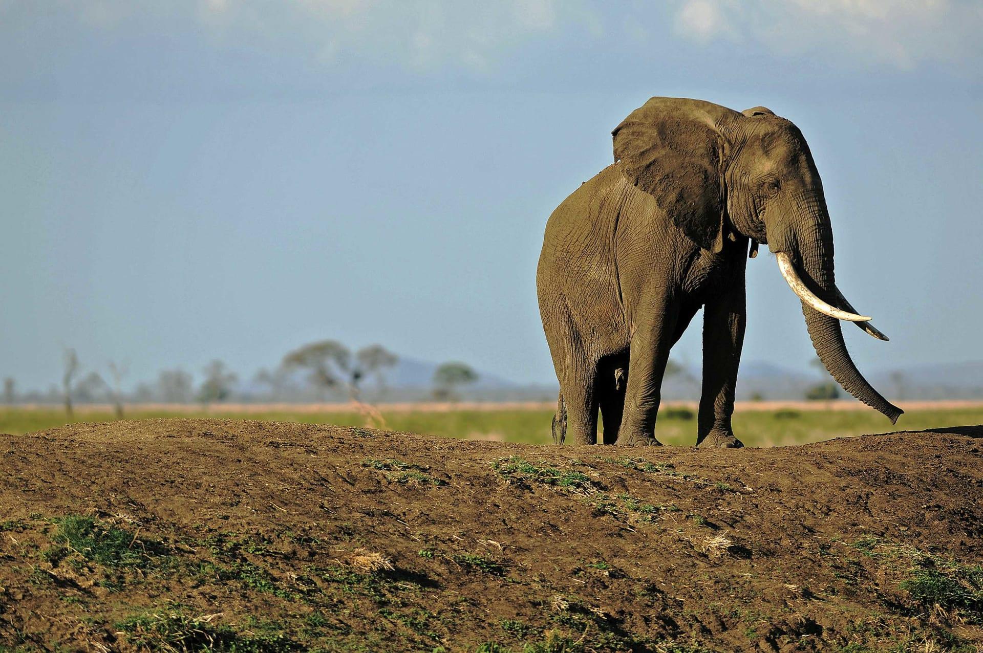 """رغم حظره منذ 12 عاماً.. عاج الفيلة لا يزال يباع على موقع """"إيباي"""""""
