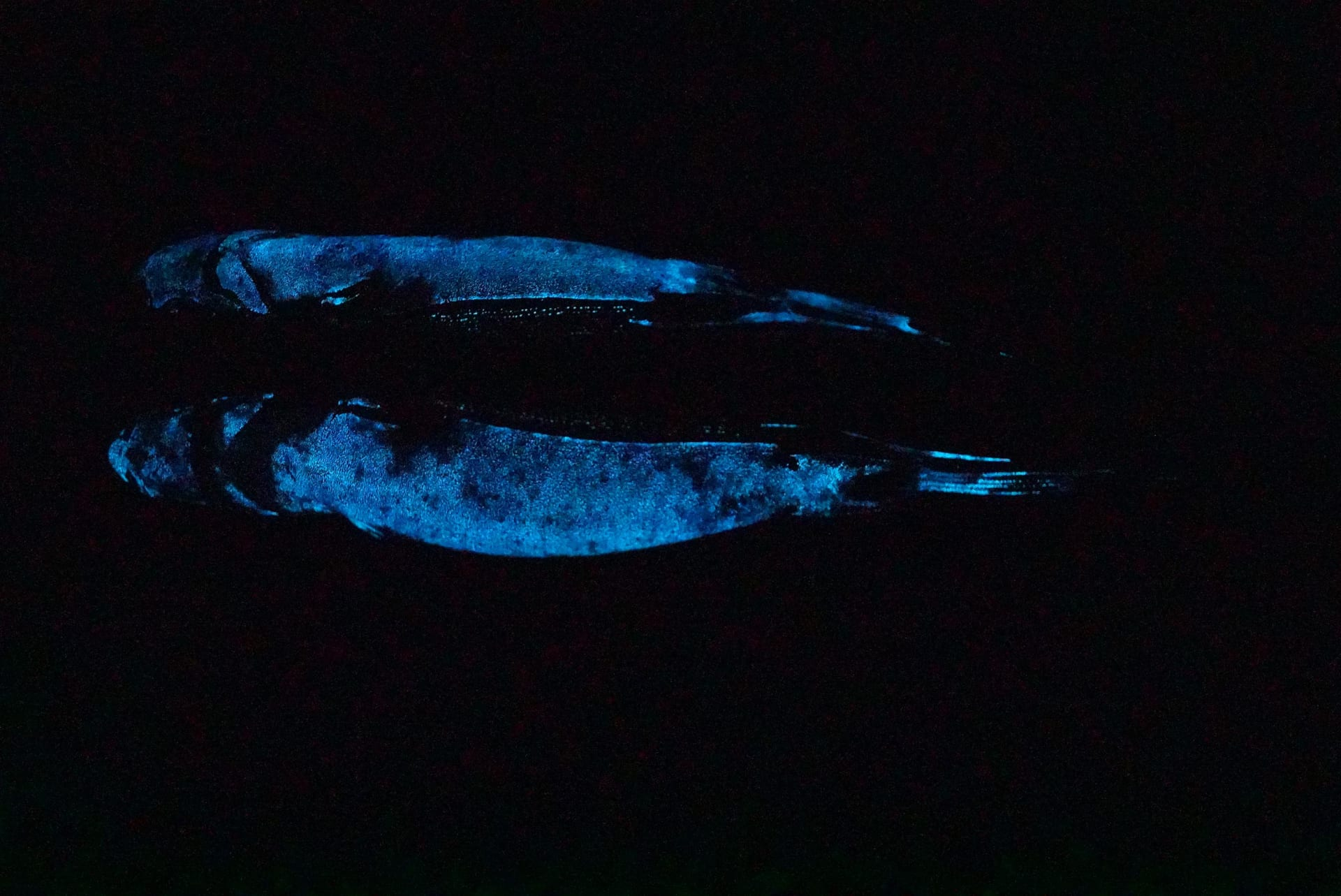 لأول مرة.. التقاط علماء أول صورة لسمكة قرش متوهجة على الإطلاق