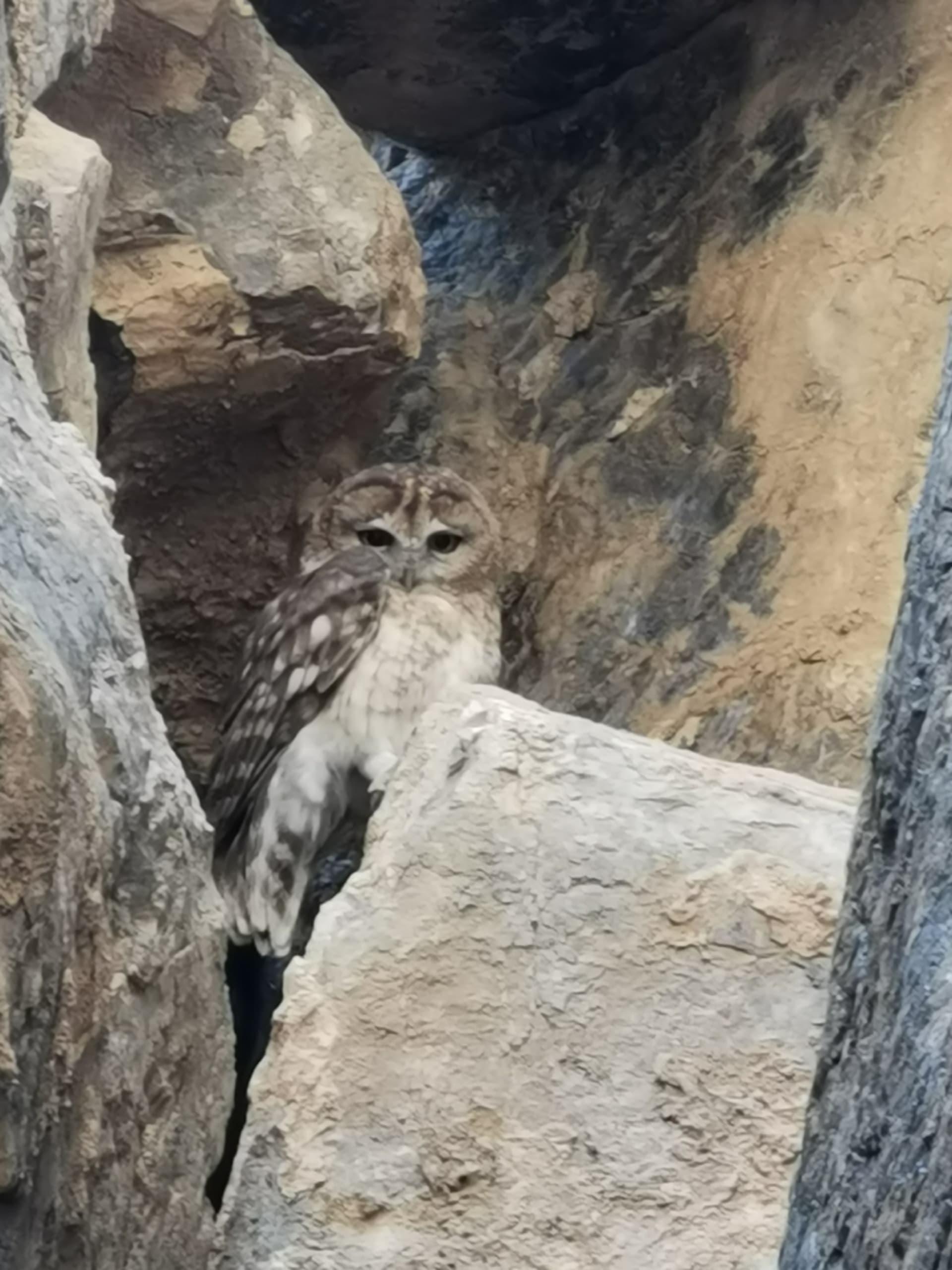 توثيق البومة العمانية في الإمارات لأول مرة.. ماذا يعني ذلك لهذا الطائر النادر؟