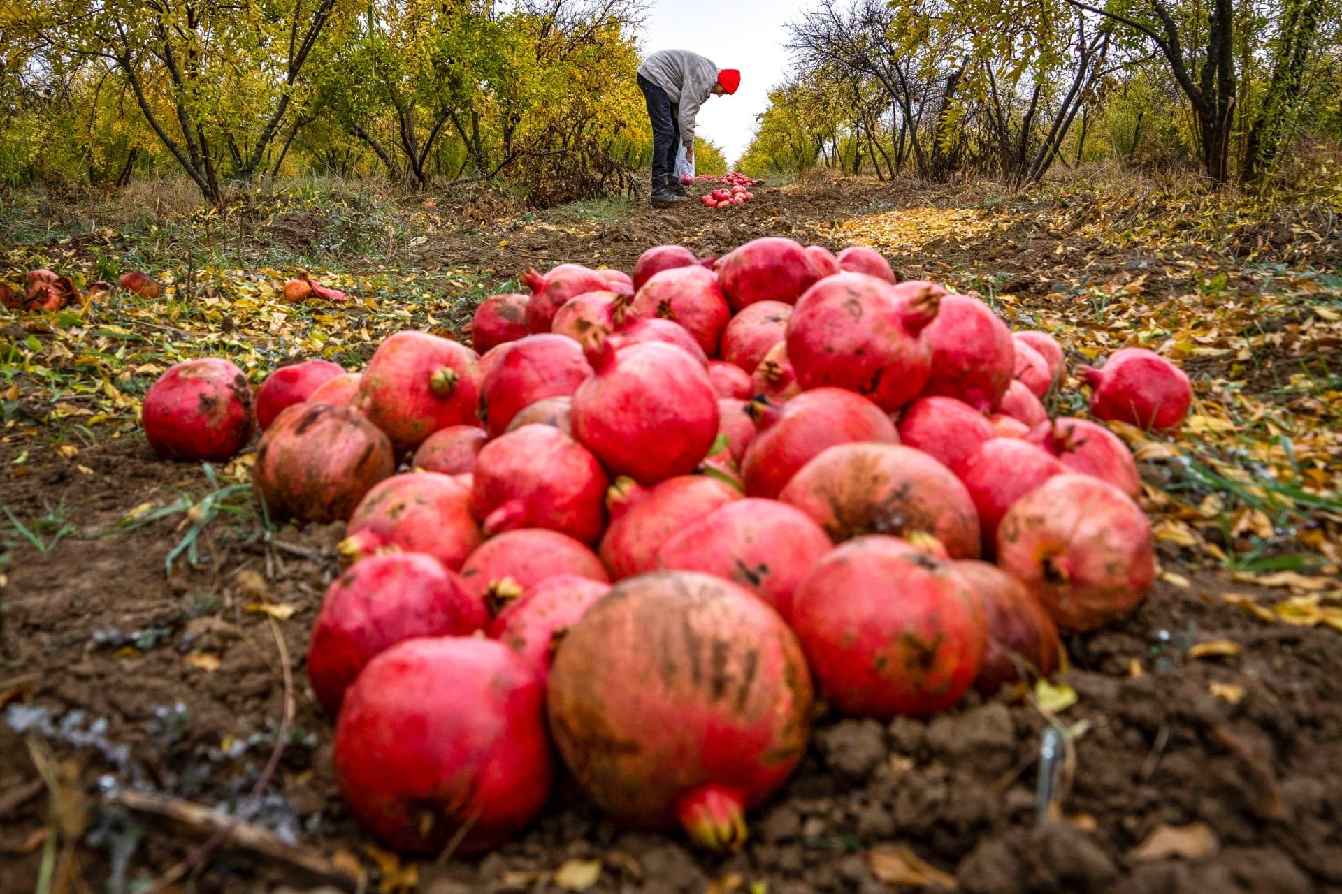 صورة أرشيفية - رجل يحصد ثمار الرمان في إقليم ناغورنو كاراباخ، في 18 نوفمبر 2020