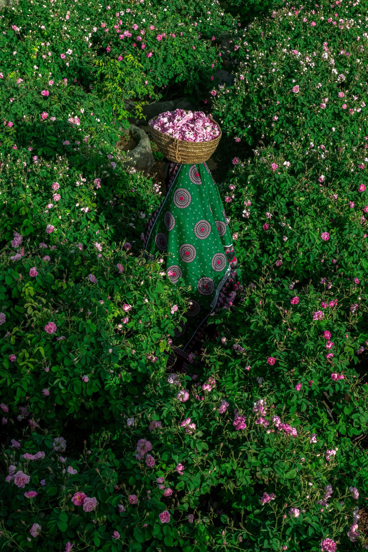 بِحار من اللون الوردي.. مصور يتجه للجبل الأخضر بسلطنة عمان لتوثيق موسم الورد وهذه هي المشاهد الحالمة التي وثقها