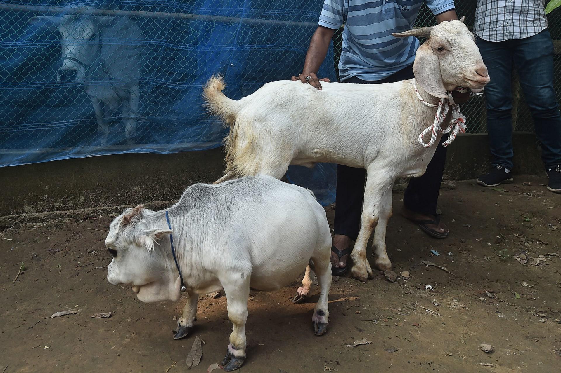 """في بنغلاديش.. البقرة القزمة """"راني"""" تجذب المتفرجين لصغرها"""