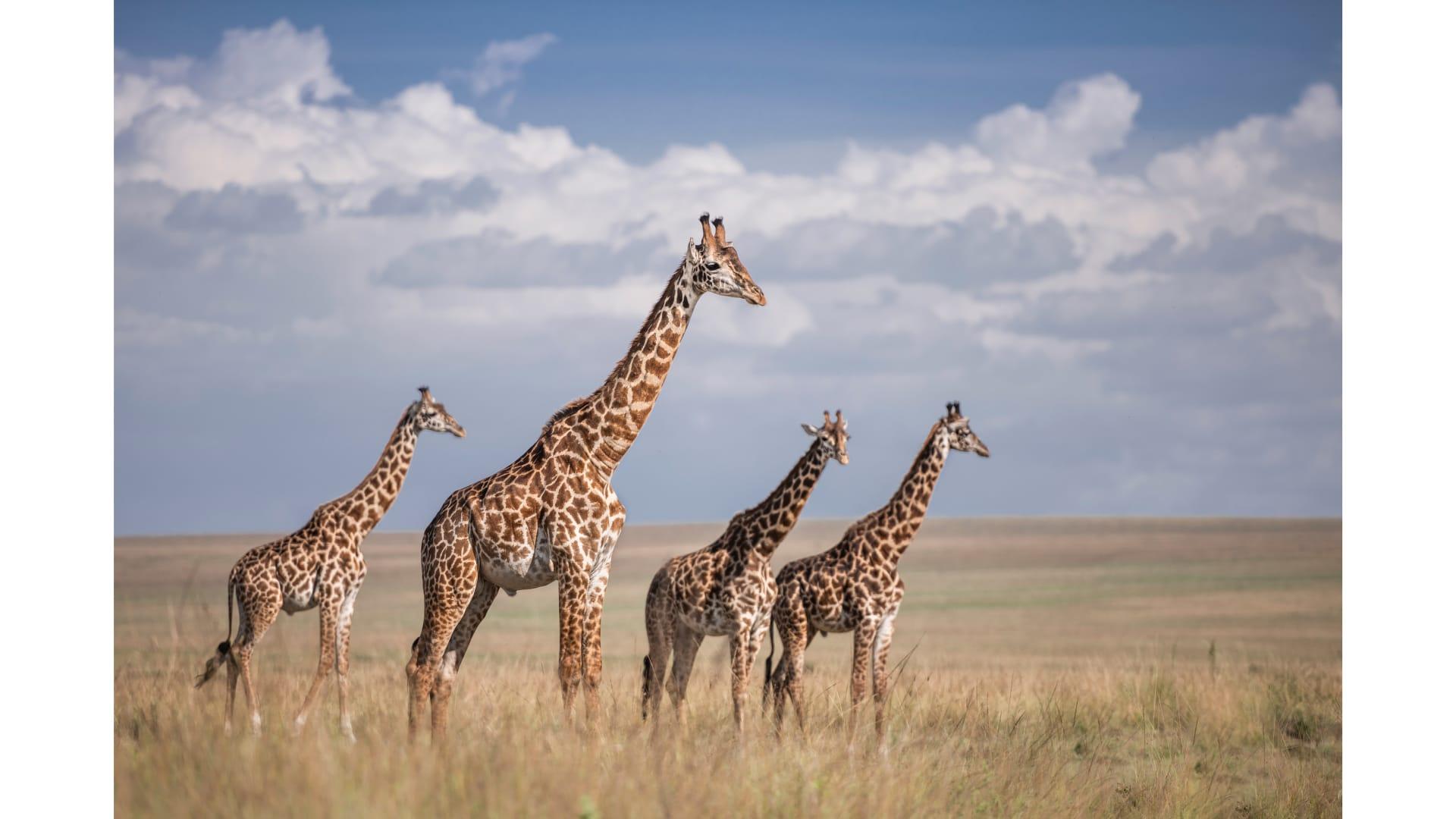 الزرافات في كينيا