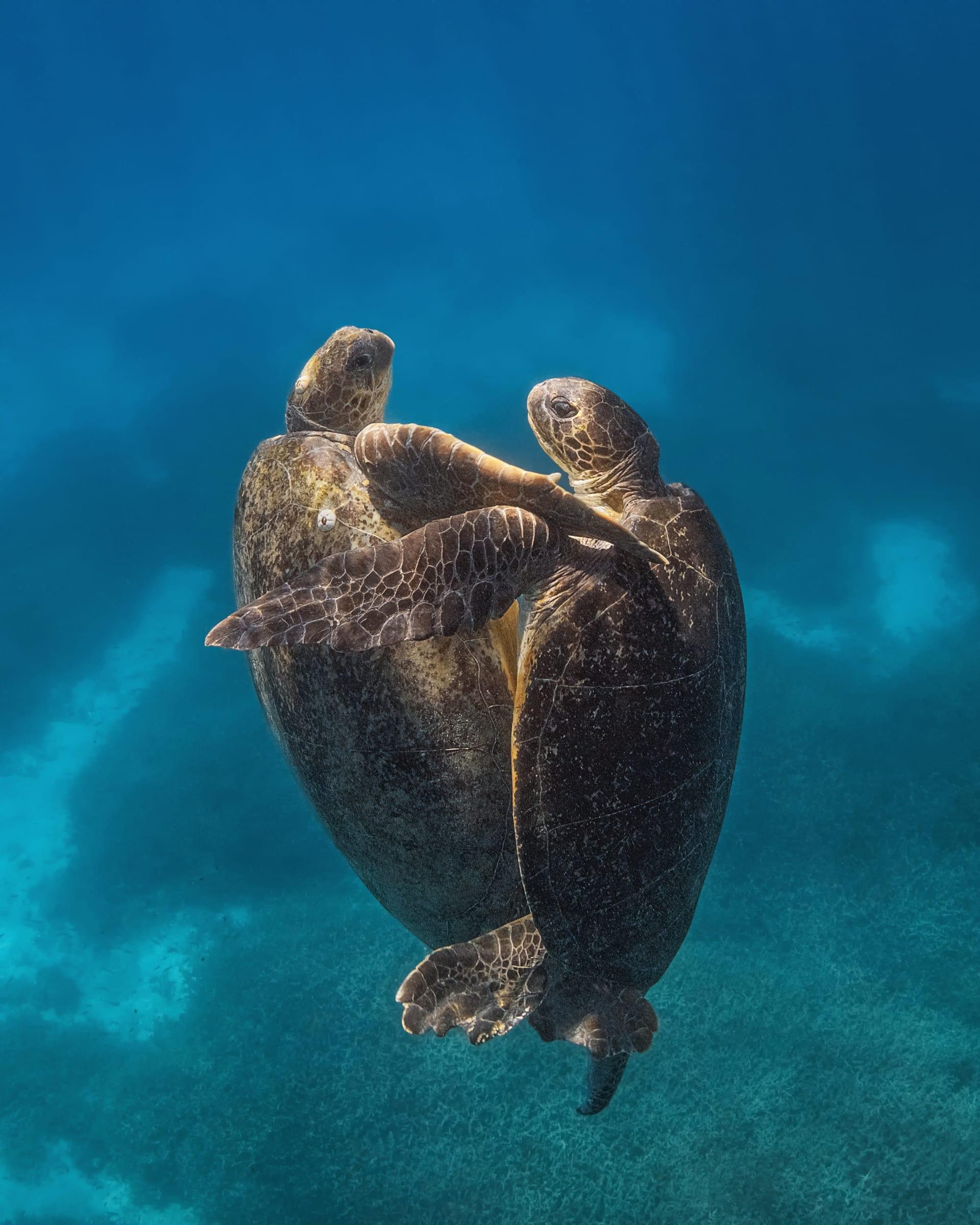 تزاوج السلاحف البحرية المهددة بالانقراض