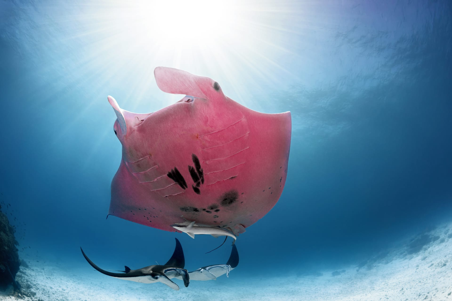 أسماك شيطان البحر الوردية