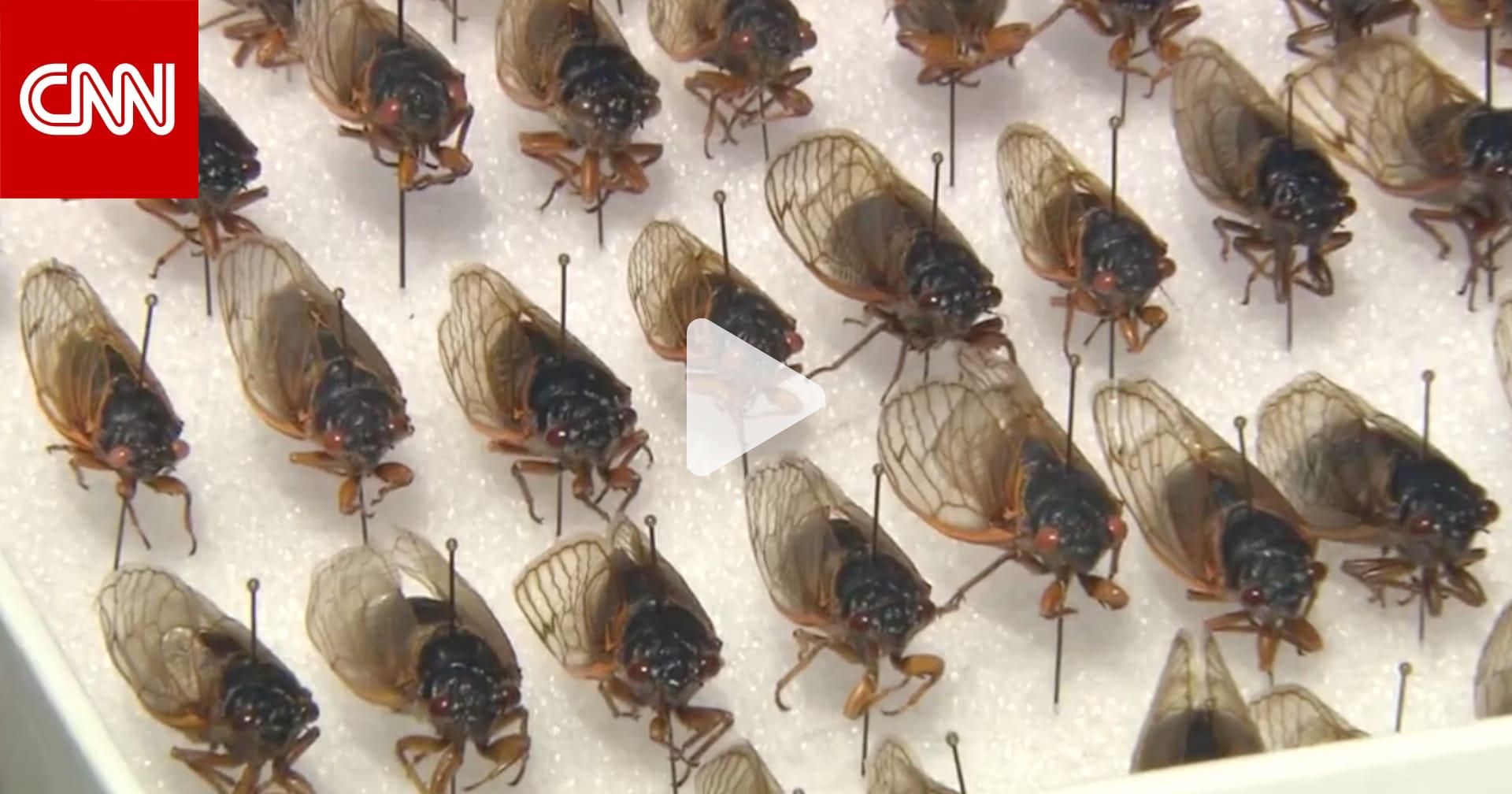 """مليارات من حشرات """"الزيز"""" تستعد لغزو أمريكا بعد 17 عامًا قضتها تحت الأرض"""