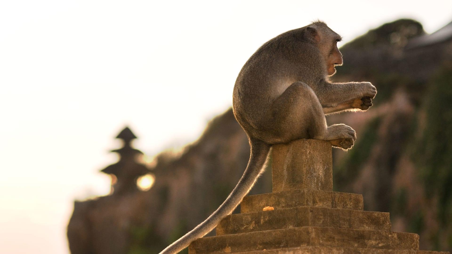 لن تتركها إلا بعد تلقي الطعام.. هذه القردة تحدد ممتلكات الزوار الثمينة لسرقتها ومقايضتها في بالي