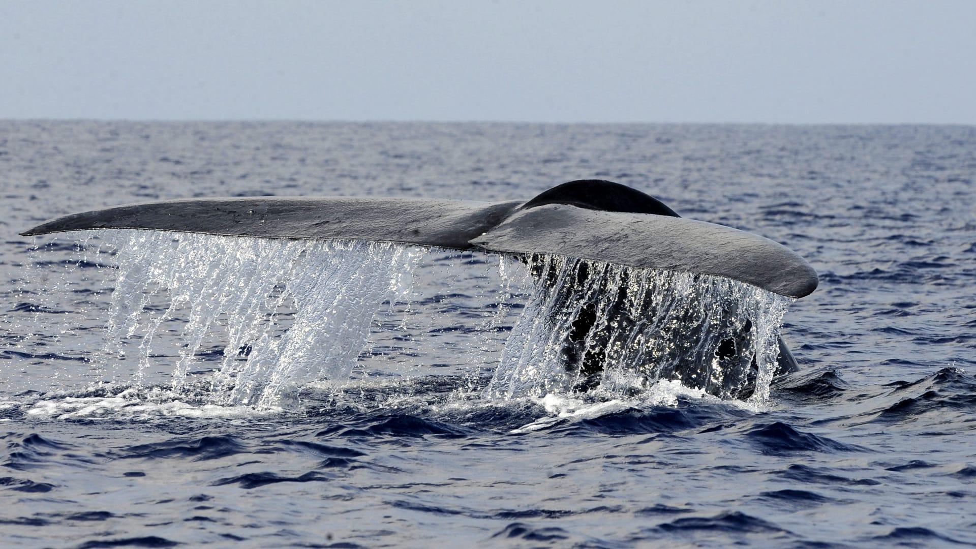 هل تعتقد أن قلبك كبير؟ انتظر حتى تقابل الحوت الأزرق إذاً!