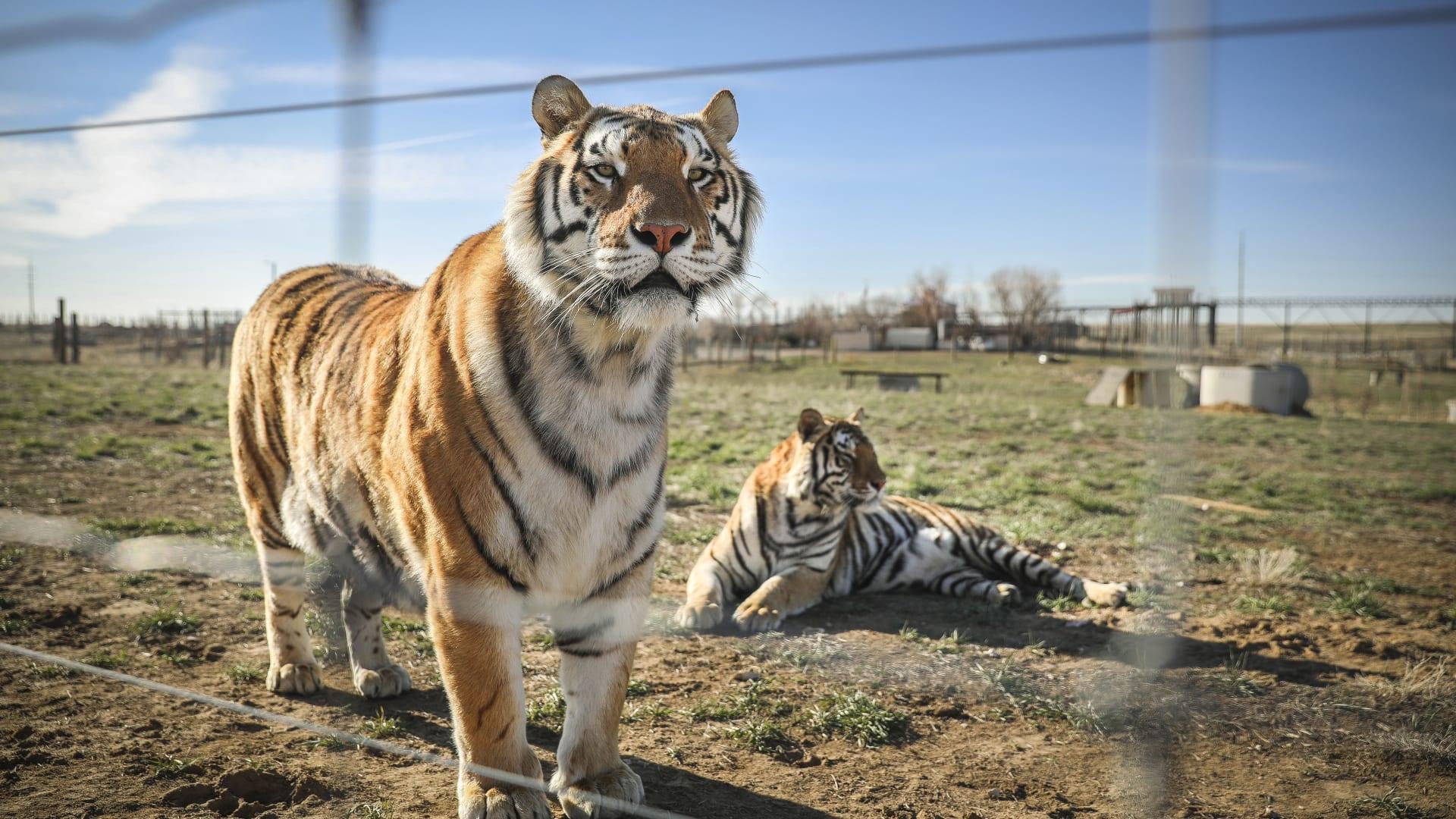 في حديقة حيوانات بنيويورك.. إصابة أول نمر بفيروس كورونا المستجد