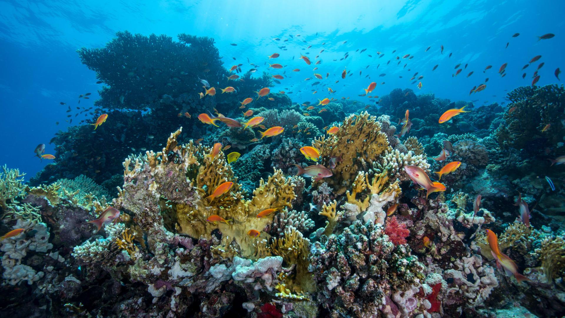 رابع أكبر حيد مرجاني في العالم - السعودية - البحر الأحمر - مشروع البحر الأحمر