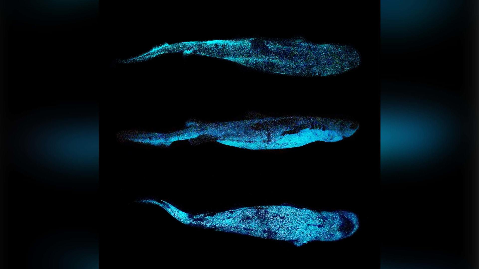 في لقطة نادرة.. دلافين متوهجة في الظلام تسبح عبر المحيط