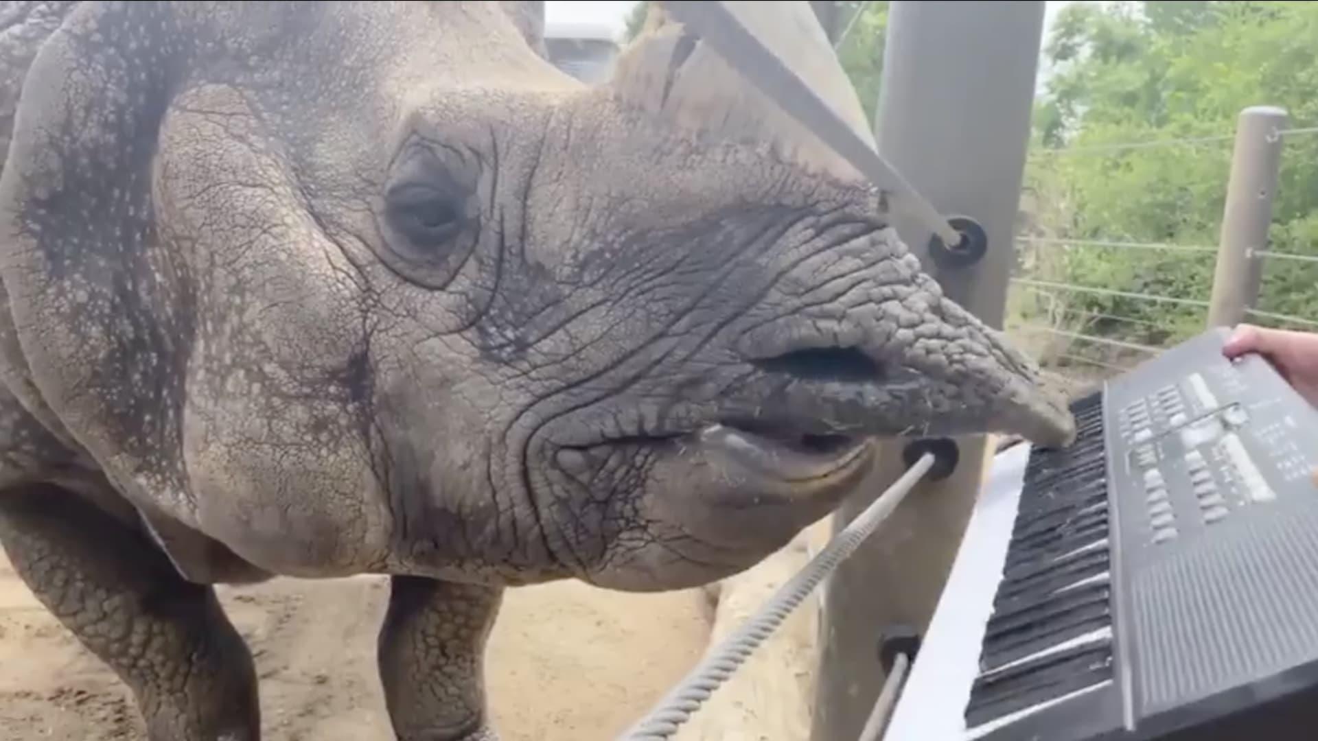 شاهد وحيد القرن بعزف البيانو بشفته العليا احتفالاً بعيد ميلاده