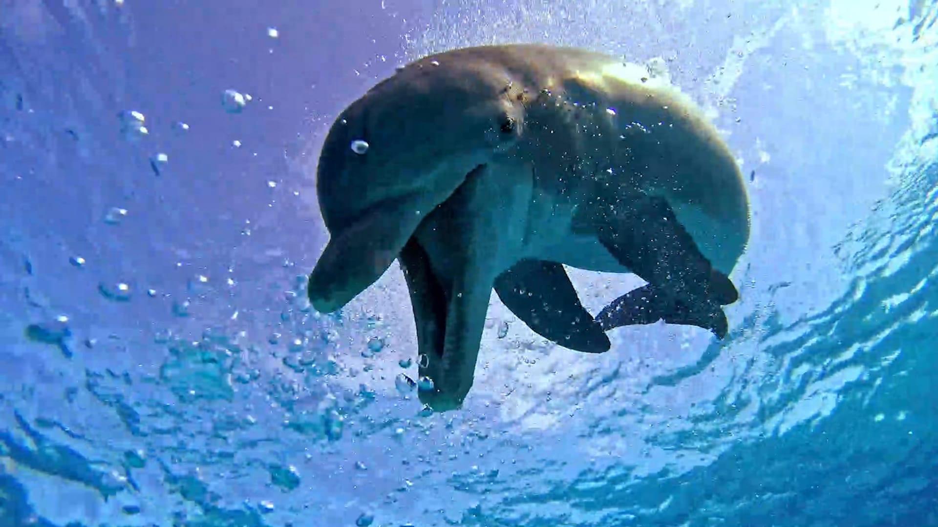 دلفين يستعرض مهارته في السباحة أمام عدسة غواص بمياه جزر البهاما