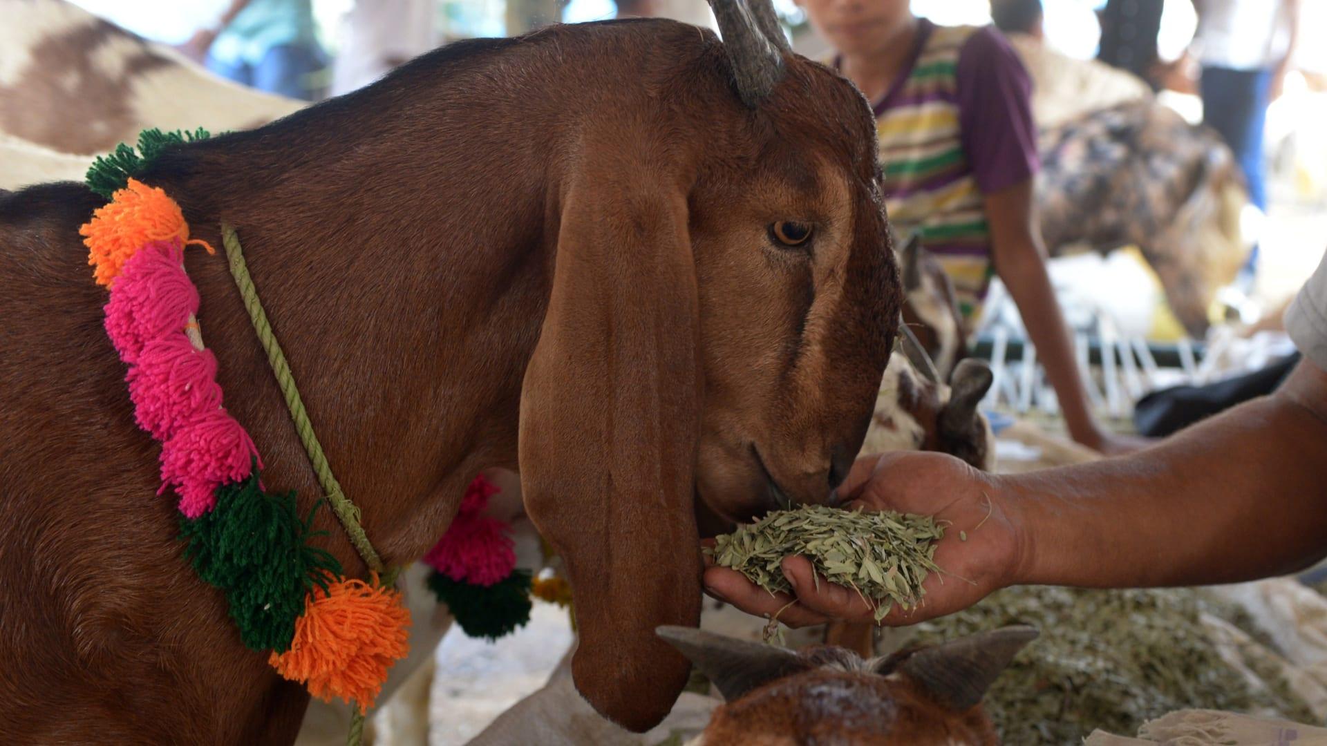 بائع أغنام يطعم ماعزا استعدادا لعيد الأضحى في أحد أسواق الهند