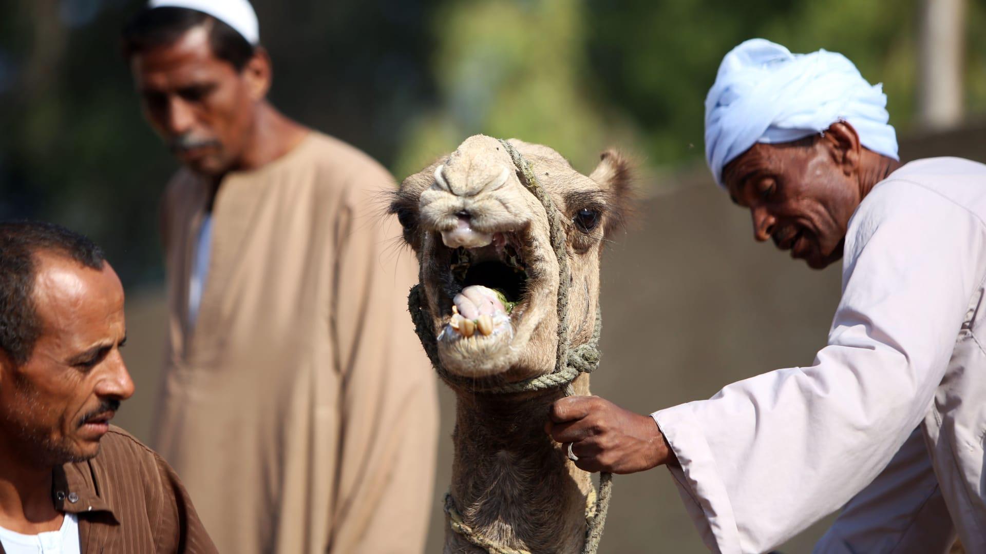مصري يعرض جملا للبيع في أحد أسواق القاهرة استعدادا لعيد الأضحى