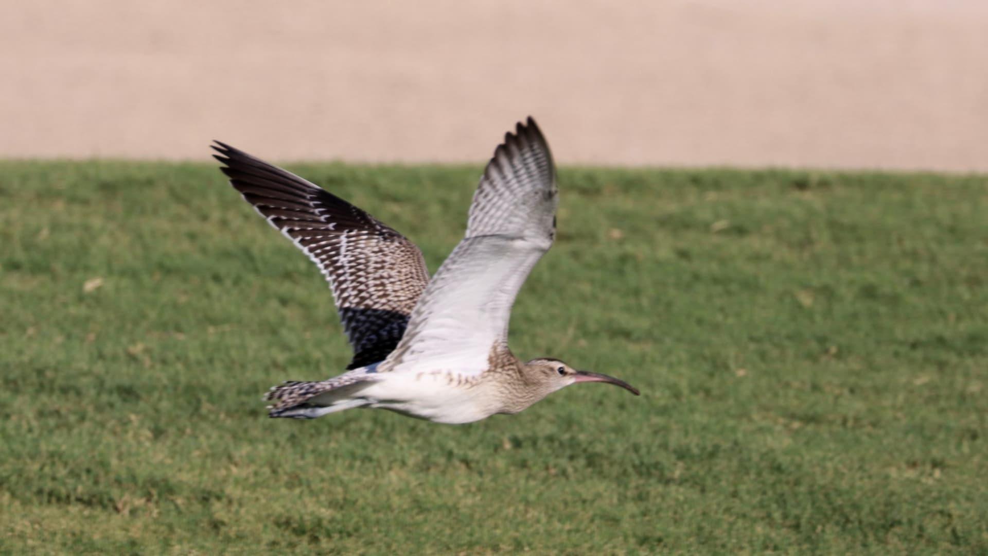 يتواجد منه 100 طائر فقط حول العالم.. توثيق طائر نادر في أبوظبي