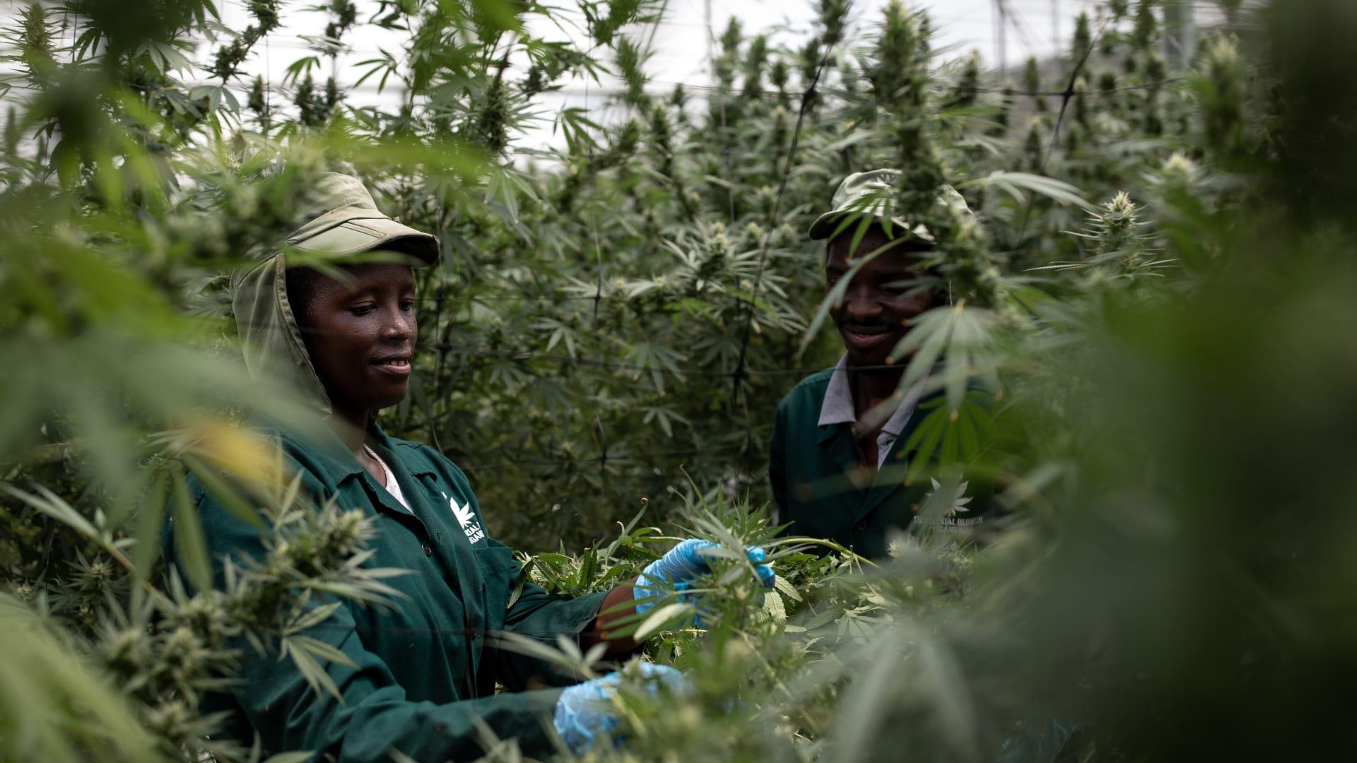 """الأمم المتحدة تخفض تصنيف الحشيش وخام القنب إلى فئة المخدرات """"الأقل خطورة"""""""