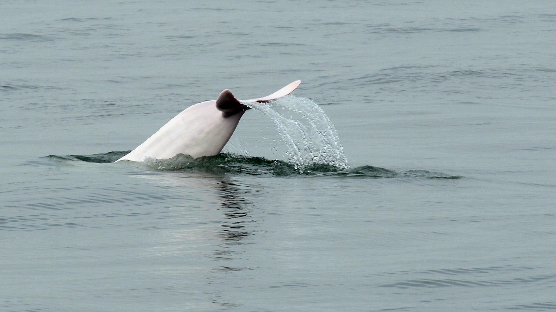 كأنها في حفلة.. شاهد دلافين بيضاء نادرة تمرح في الماء