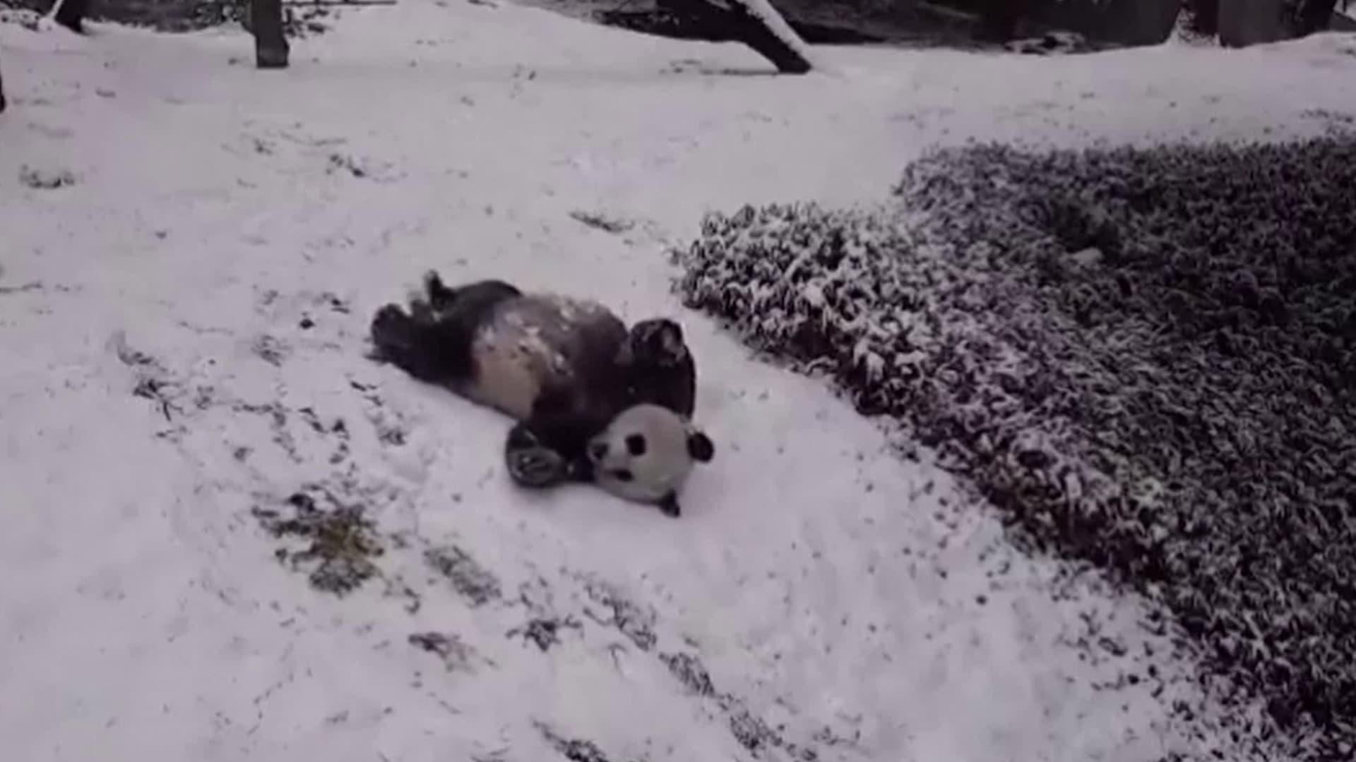 فيديو طريف لدُب الباندا يمرح على الثلوج المتساقطة بحديقة الحيوانات الوطنية في واشنطن
