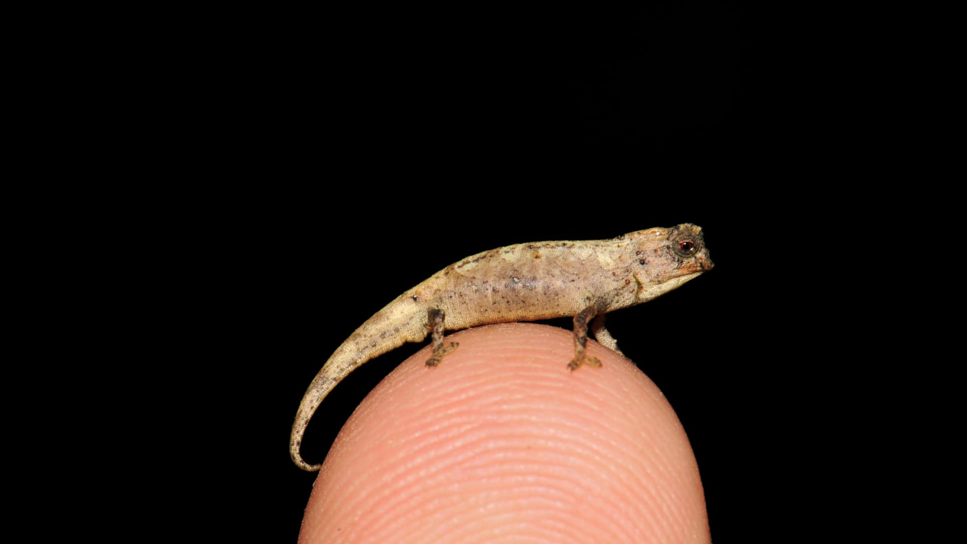 """""""نانو حرباء"""".. قد يكون هذا الكائن المكتشف حديثا أصغر الزواحف بالعالم"""