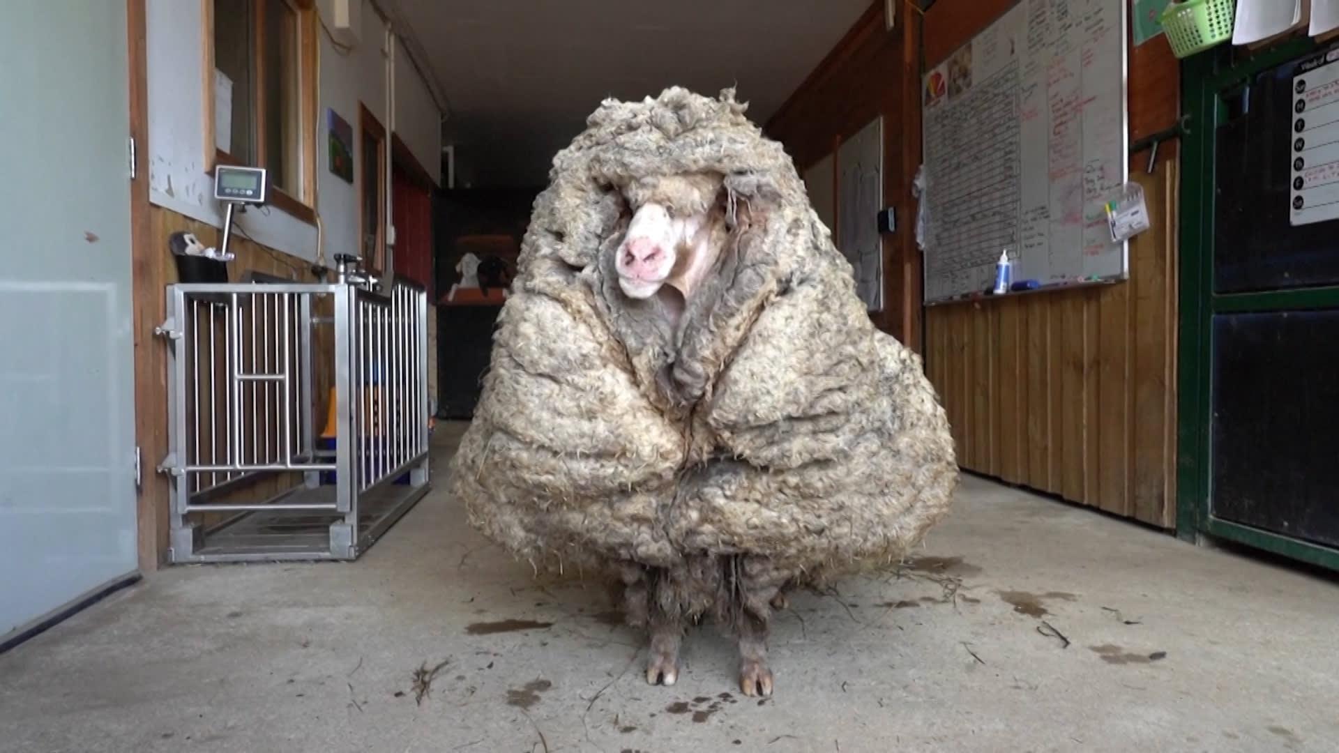 """تاه لسنوات في الأدغال.. خروف بأكثر من 30 كيلوغراما من الصوف يتلقى """"تسريحة جديدة"""""""