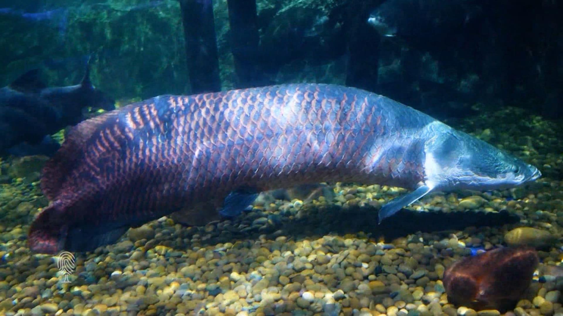 هذا الرجل في مهمة لإنقاذ سمكة الأربيمة العملاقة في نهر الأمازون
