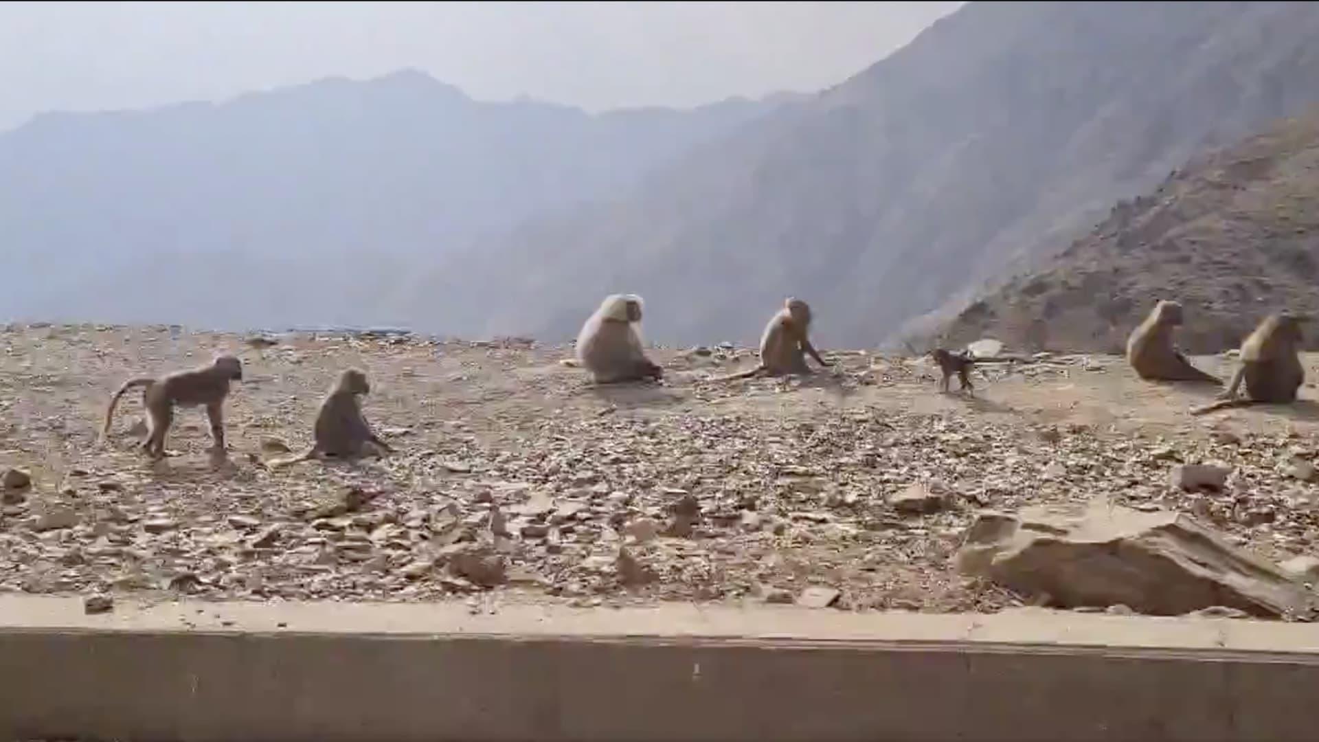 """خلال رحلة بالمملكة.. سفير فرنسا لدى السعودية يشارك فيديو لـ""""لقاء غير متوقع"""" مع قردة منطقة عسير"""