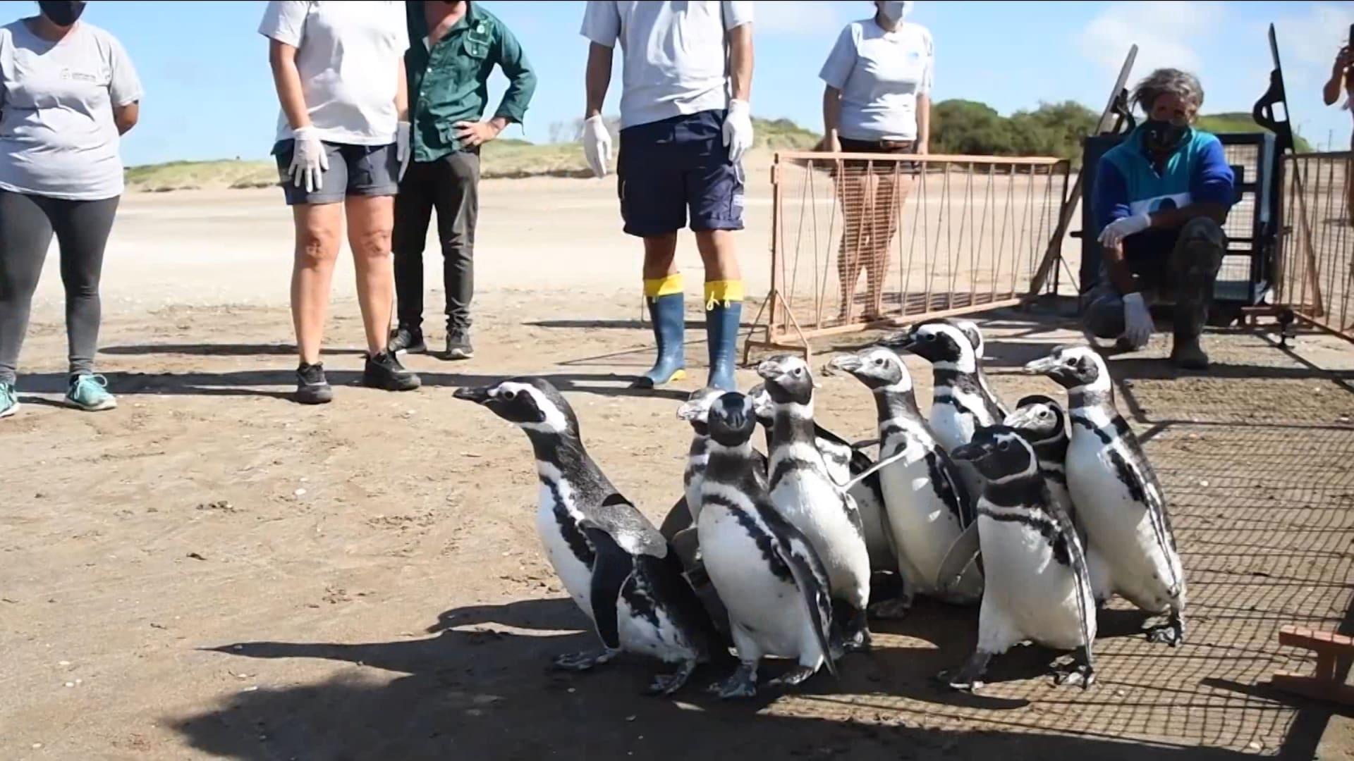 شاهد..12 من طيور البطاريق تسير نحو الحرية على شواطئ الأرجنتين