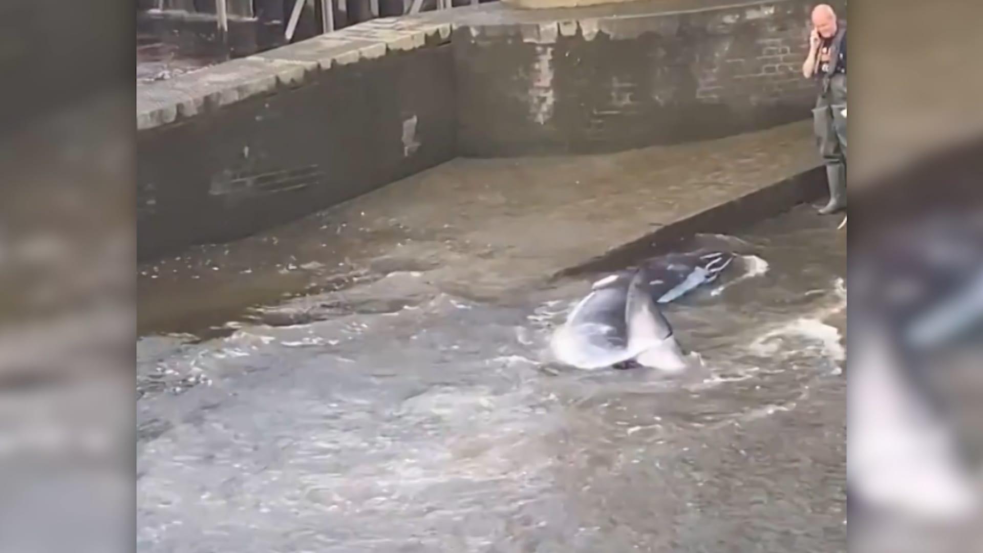 شاهد.. عملية تحرير حوت تقطعت به السبل في نهر التايمز بلندن