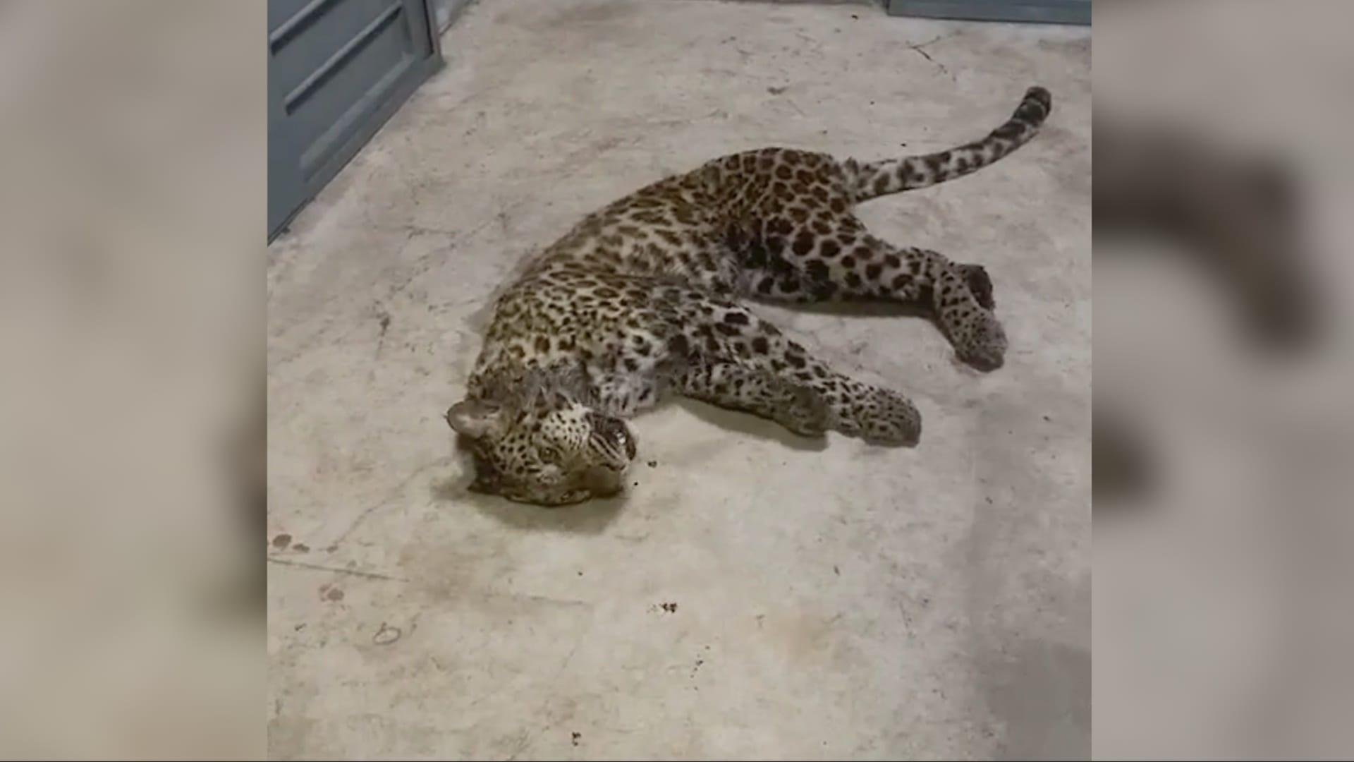 هروب 3 نمور من حديقة حيوانات بالصين وعدم إشعار الجمهور لمدة لأسبوع