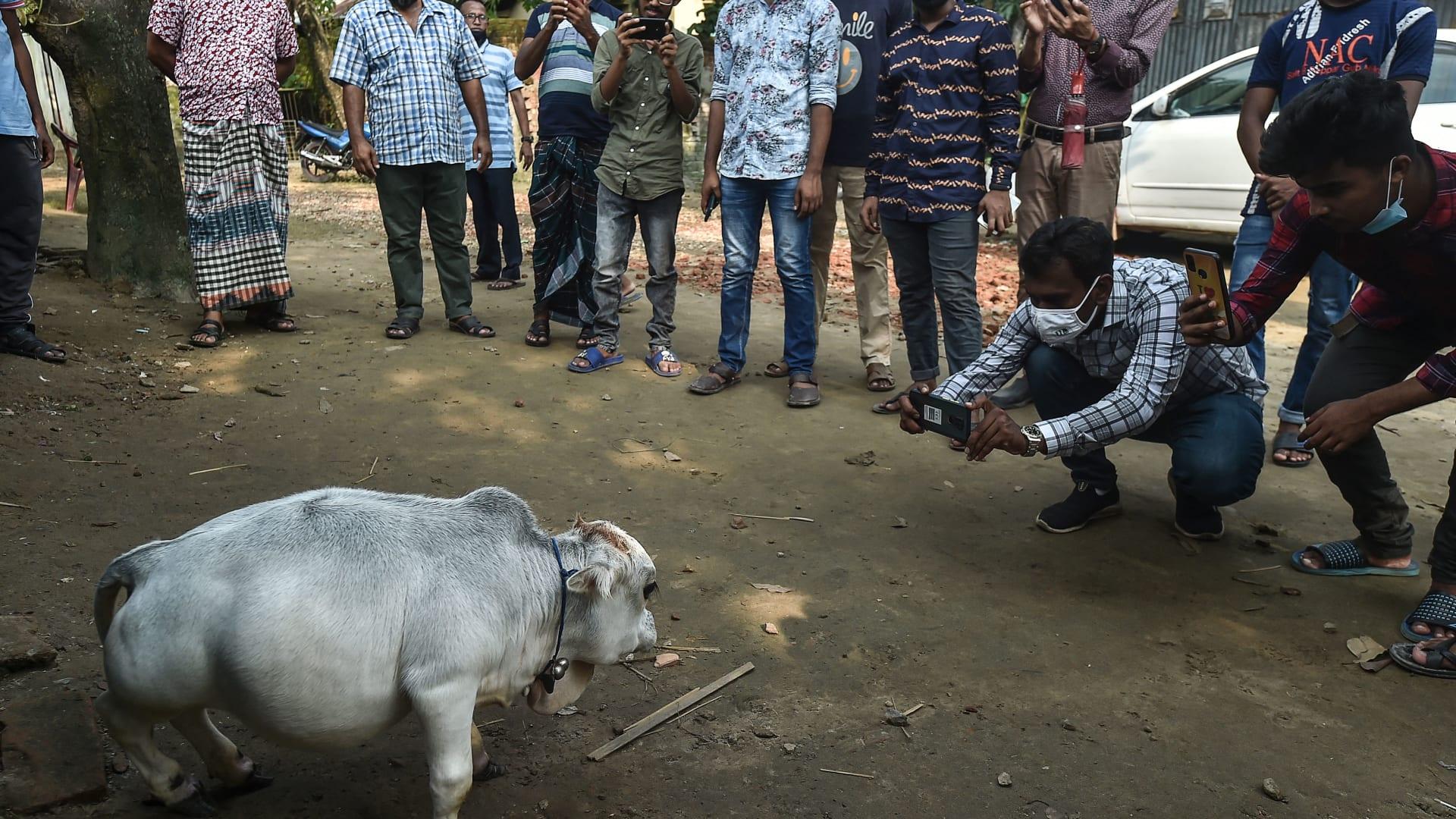 """في بنغلاديش.. البقرة القزمة """"راني"""" تجذب المتفرجين"""