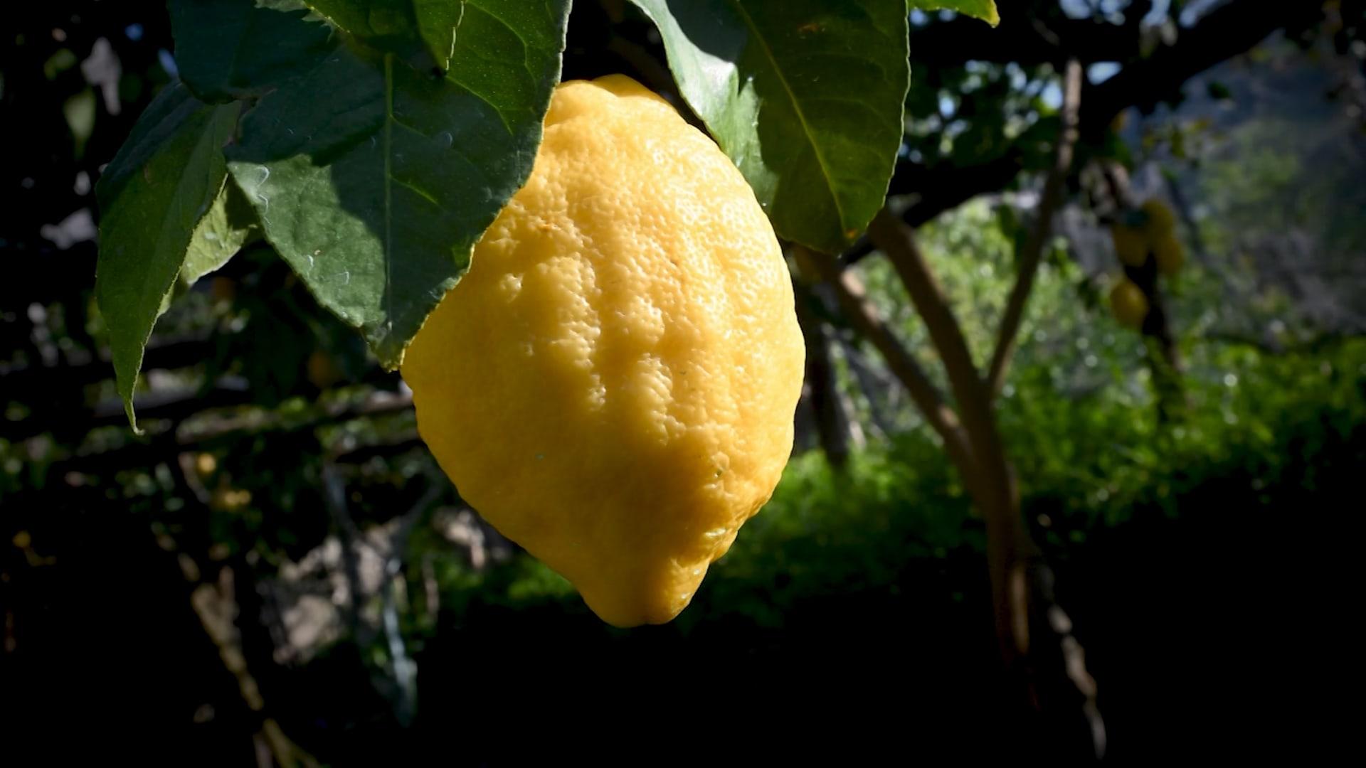 الليمون.. تعرف على فوائده الصحية واستخداماته في المنزل