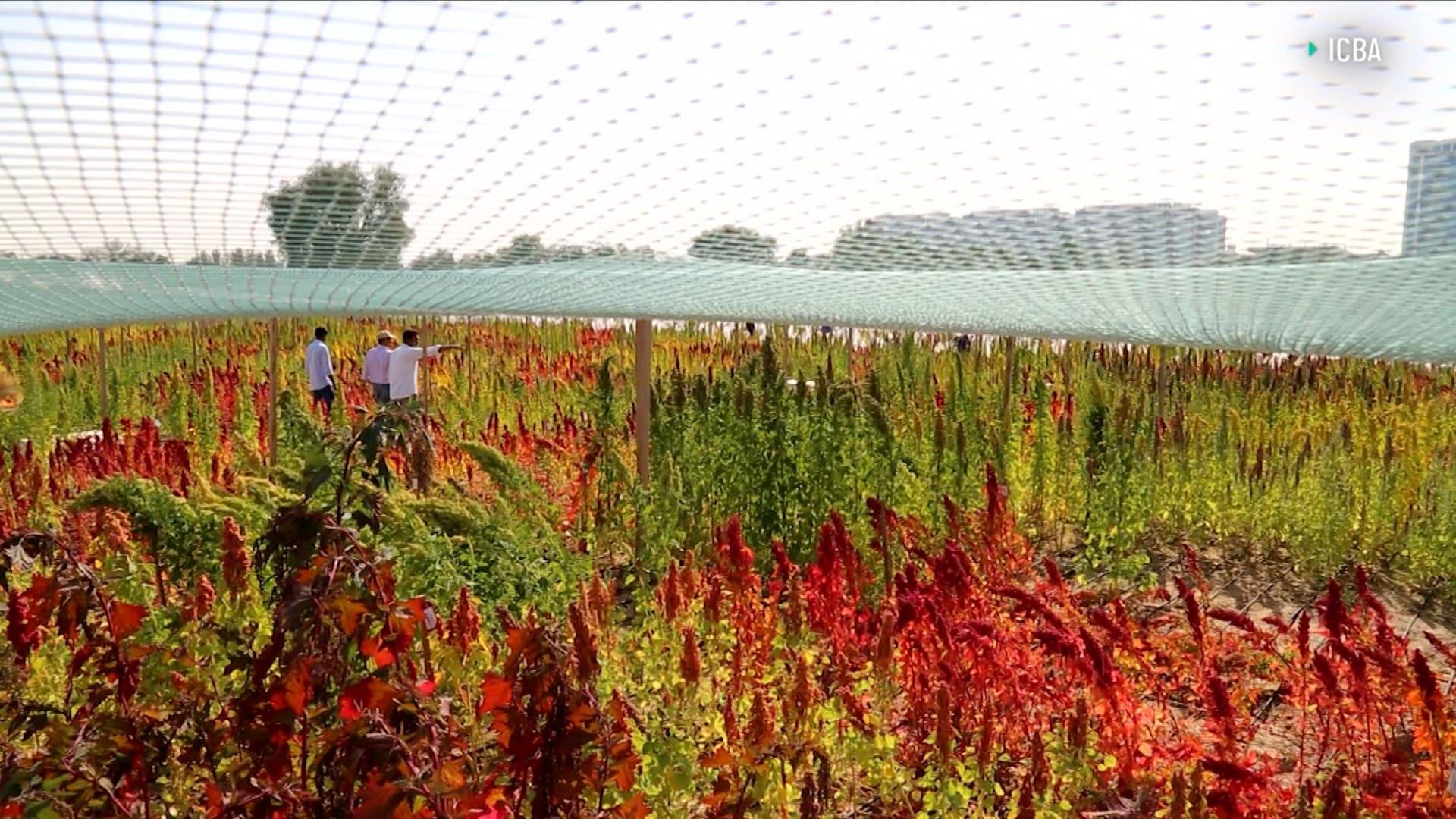 شركة في دبي تزرع محاضيل مقاومة للجفاف والحرارة في الصحراء