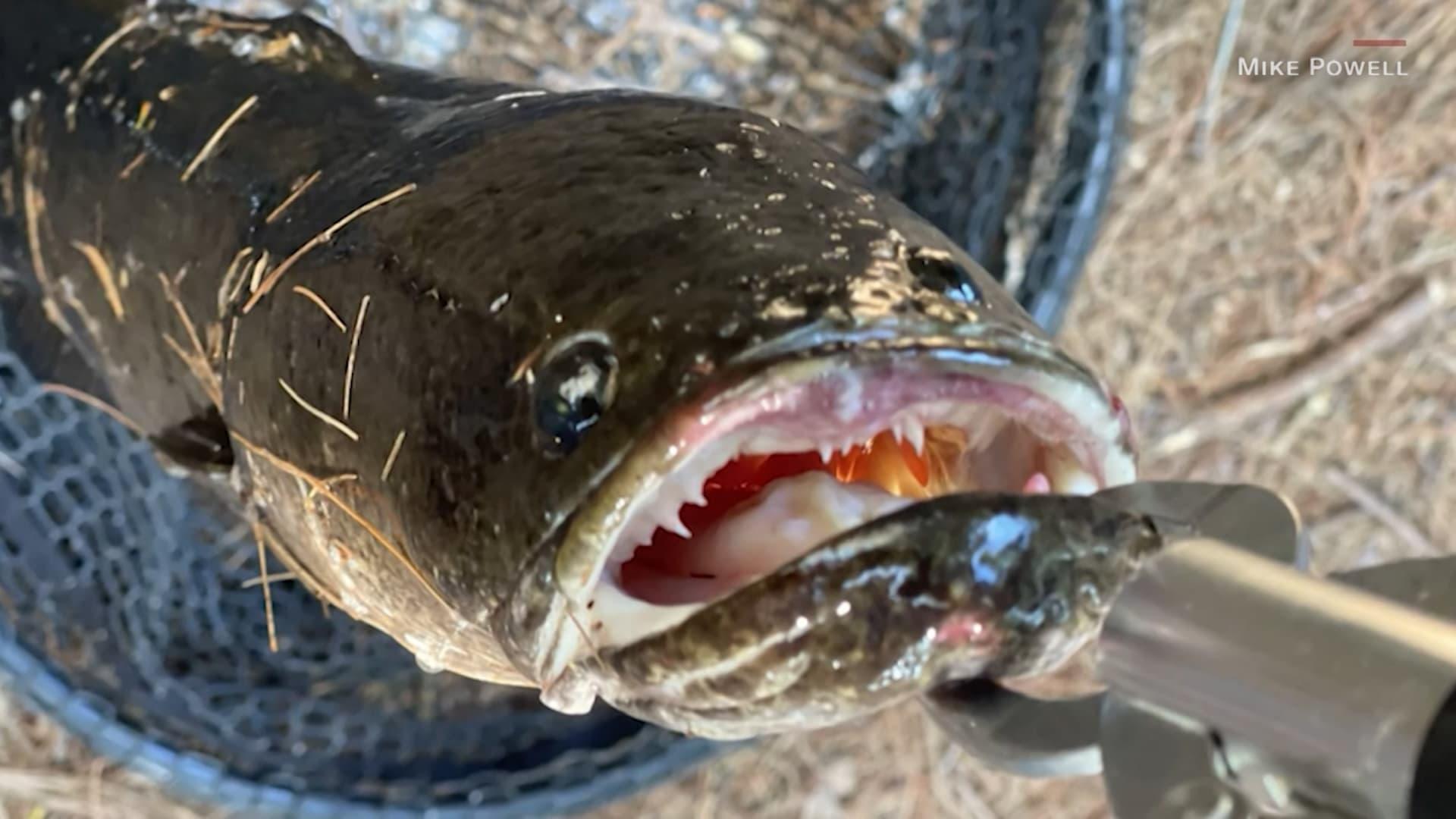 شاهد.. صياد في أمريكا يصطاد سمكة آسيوية غريبة تزن حوالي 6 أرطال