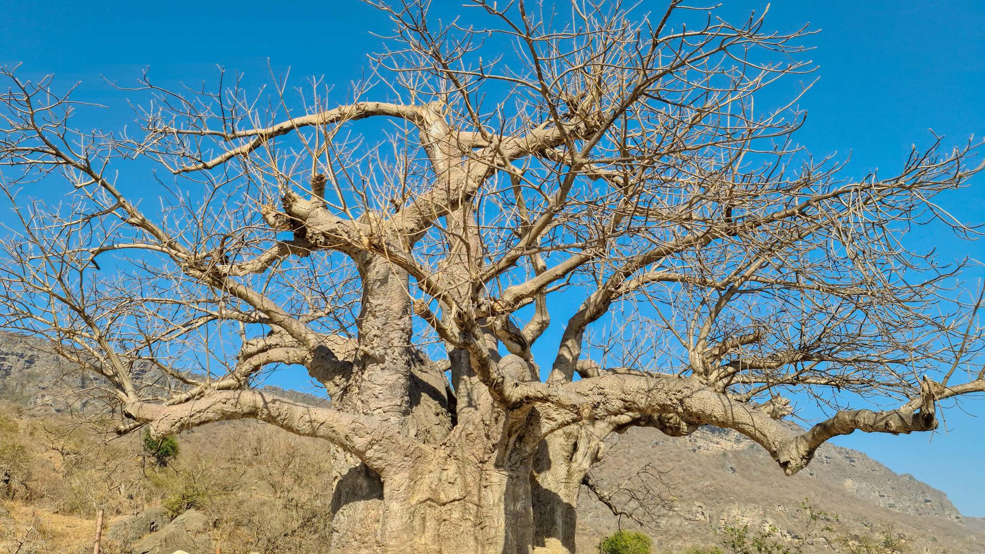 """شجرة """"التبلدي"""" في عمان"""