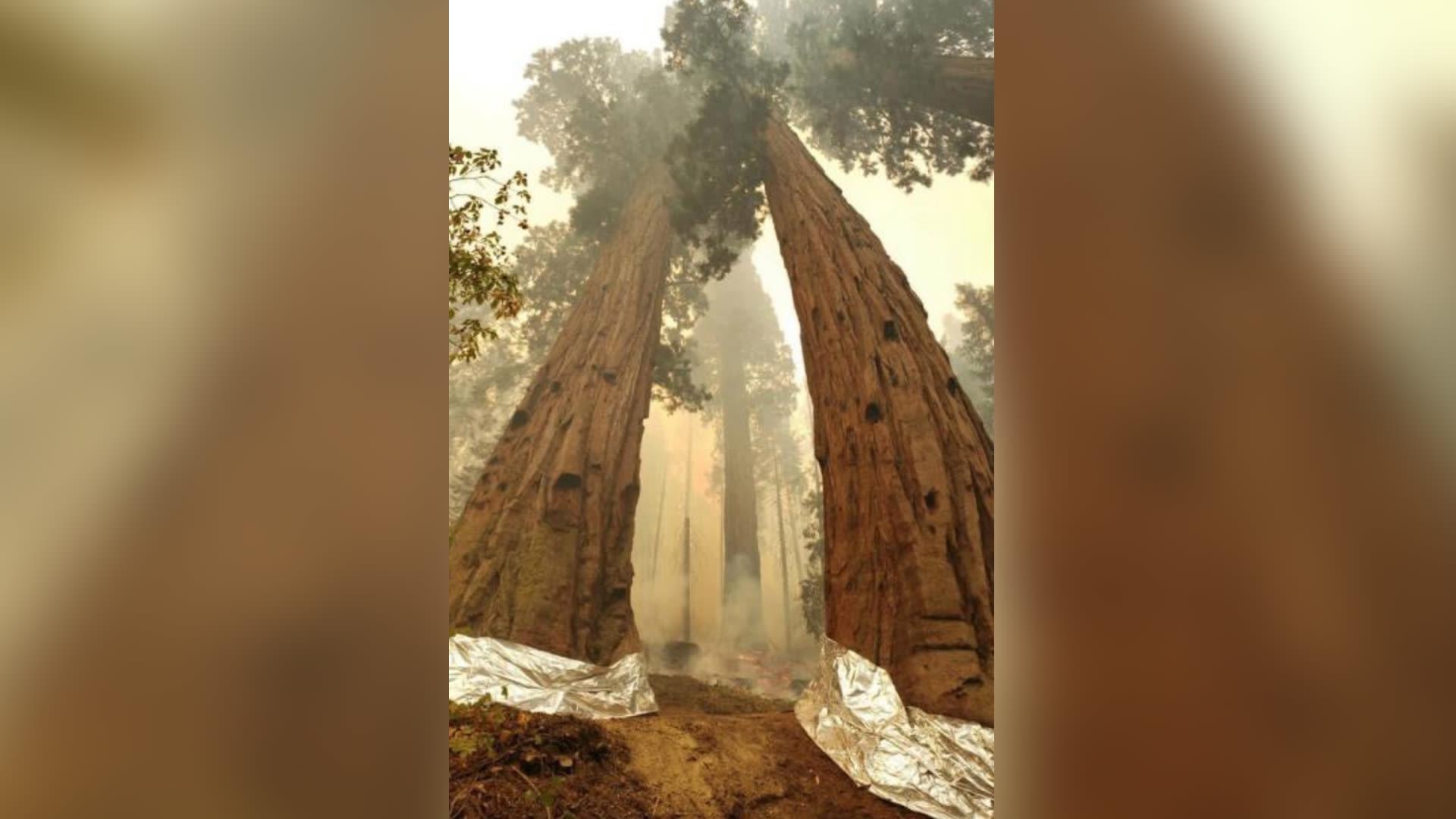 فرق الإطفاء تعمل على حماية أحد أطول كنوز الأرض مع اقتراب الحرائق منها