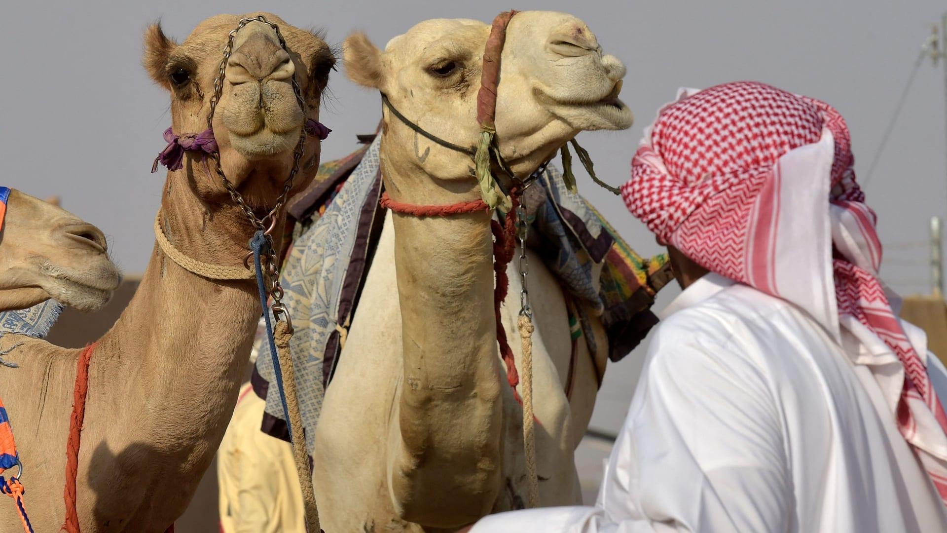 صورة أرشيفية تعبيرية لإبل في السعودية