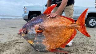 شاهد.. العثور على سمكة ضخمة نادرة على أحد شواطئ أمريكا