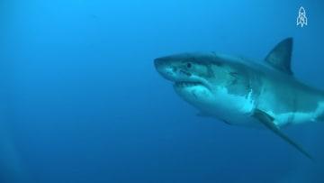 معلومة سريعة.. أسماك القرش هي سر الحفاظ على المحيطات