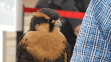 توظيف صقر لإخافة الطيور المزعجة بمطار ناشفيل