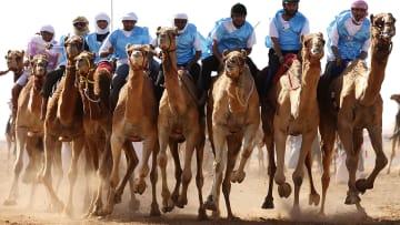 كيف يتم تحضير الإبل قبل سباقات الهجن بالسعودية؟