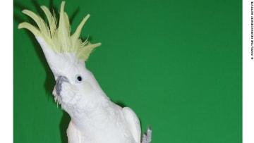 """طائر كوكاتو يرقص """"بجنون"""" على أنغام الموسيقى"""